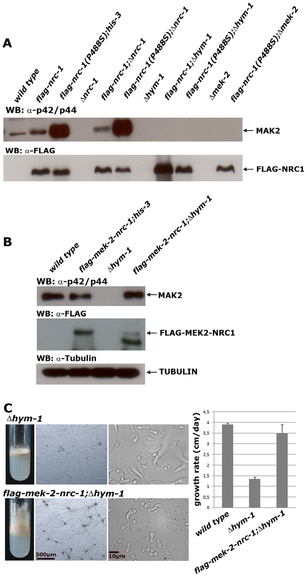 HYM1 is required for signal transduction through the entire MAK2 kinase cascade.