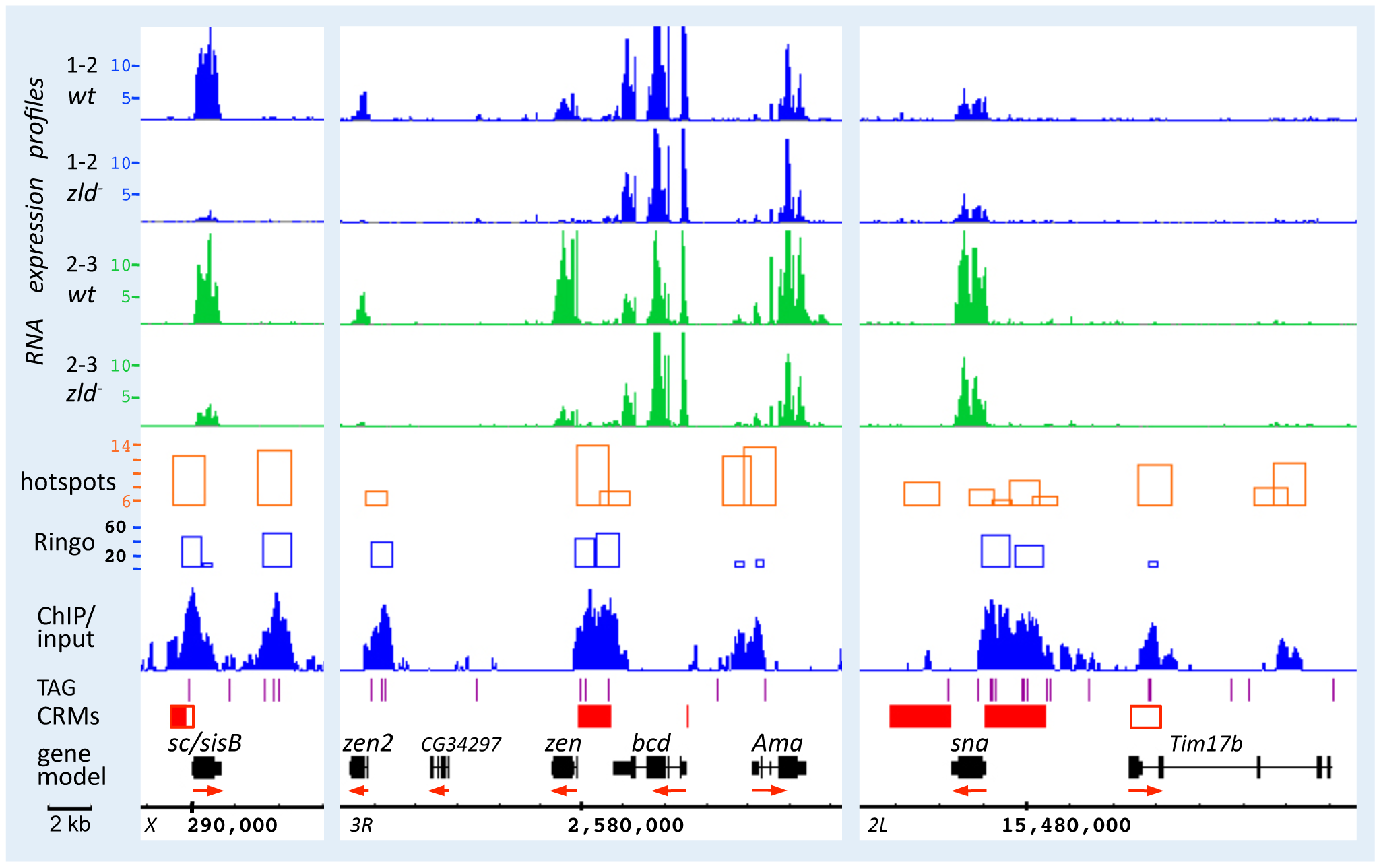 Zld binds to defined enhancer regions of <i>sc/sisB</i>, <i>zen</i>, and <i>sna</i>.