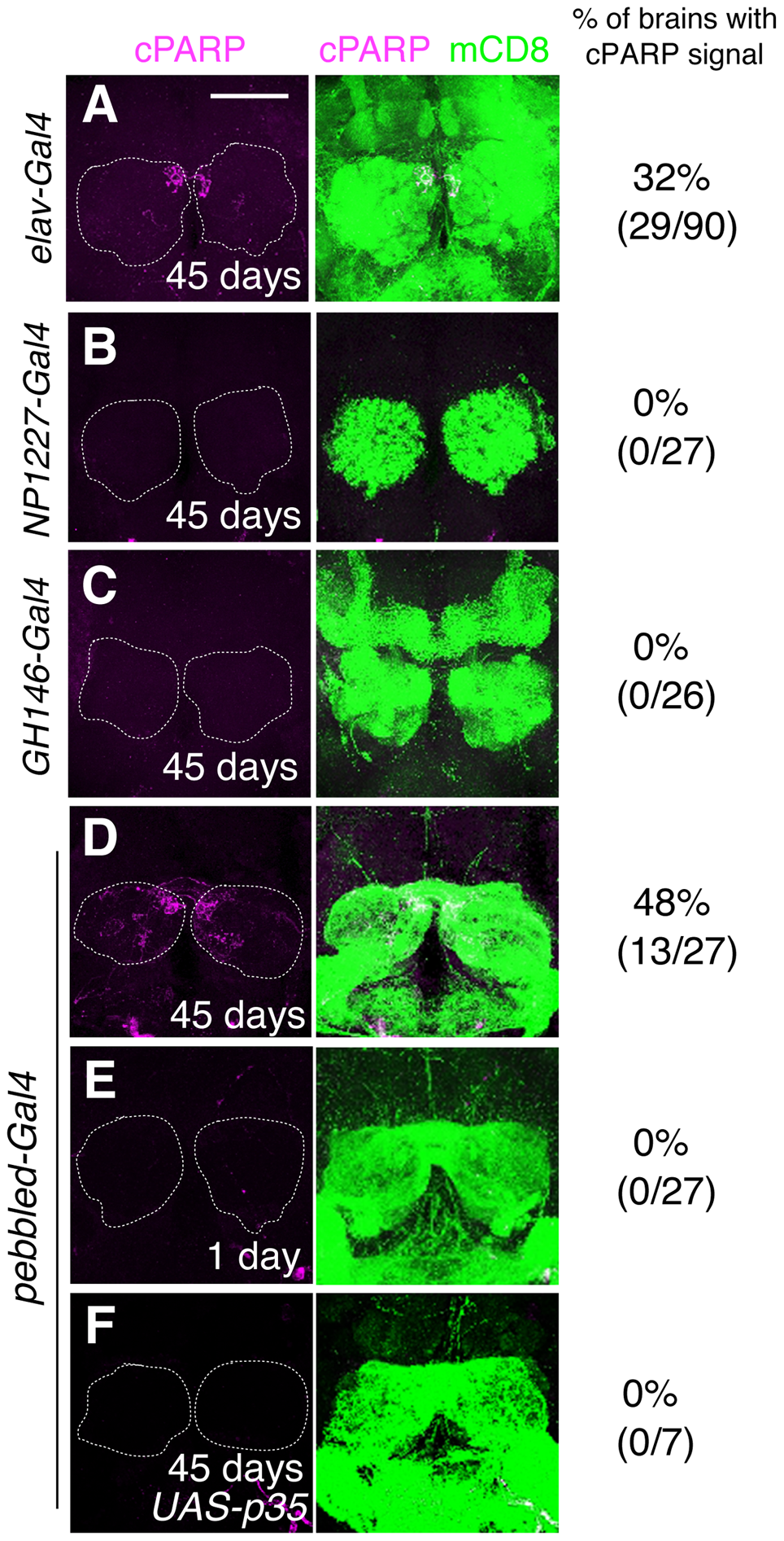 DEVDase is activated in the ORNs of aged <i>Drosophila</i> brains.