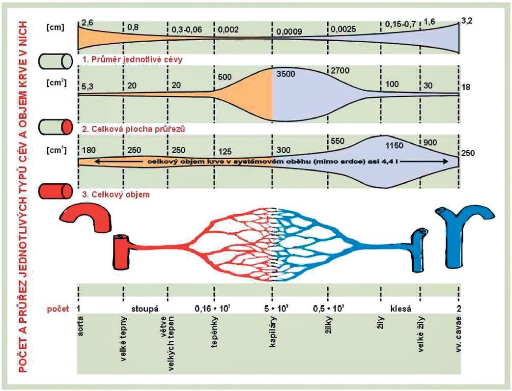 Systémová vaskulatura z pohledu průměrů cév, jejich celkového průřezu a příslušného objemu krve.