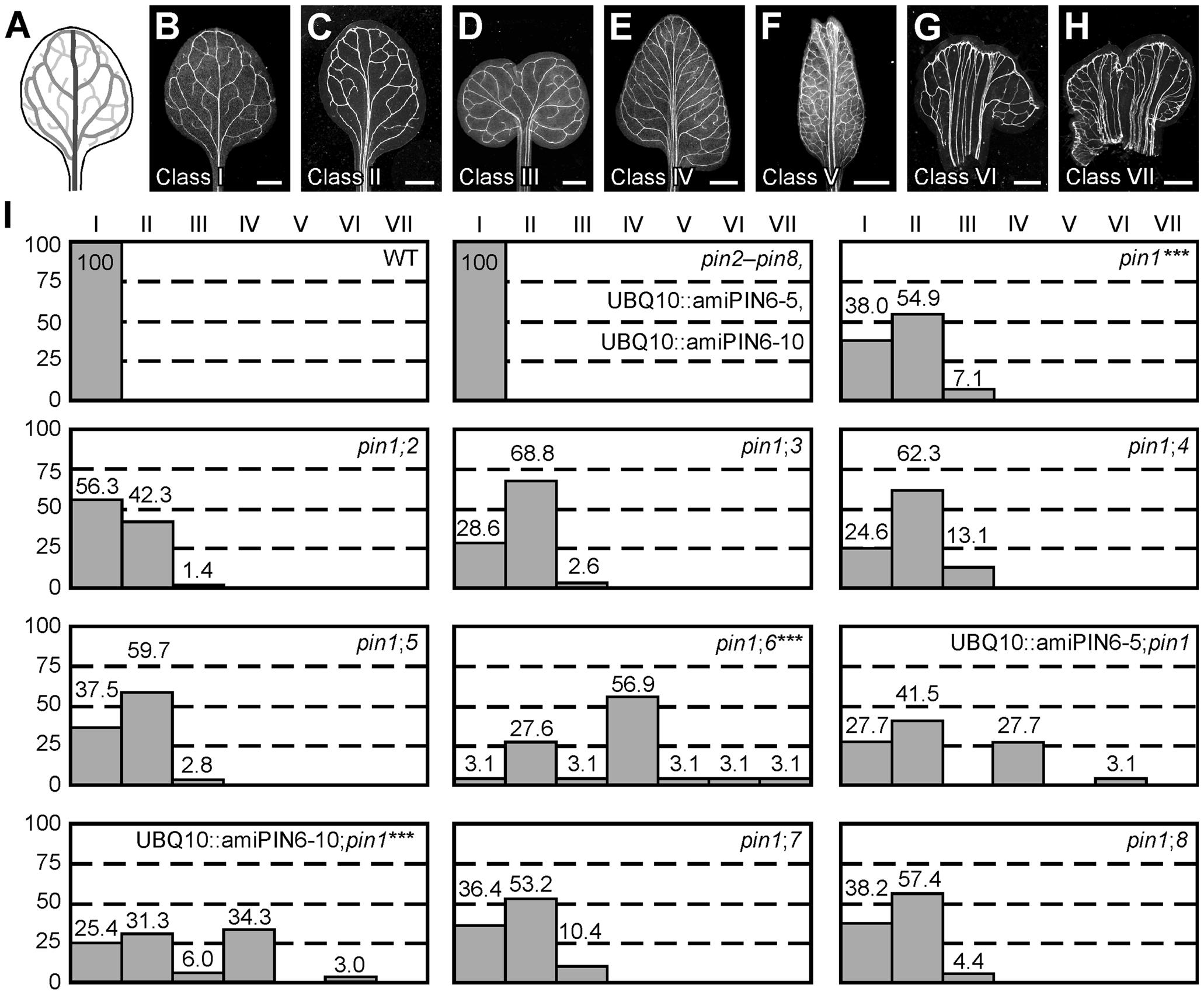 Vein patterning functions of Arabidopsis <i>PIN</i> genes.