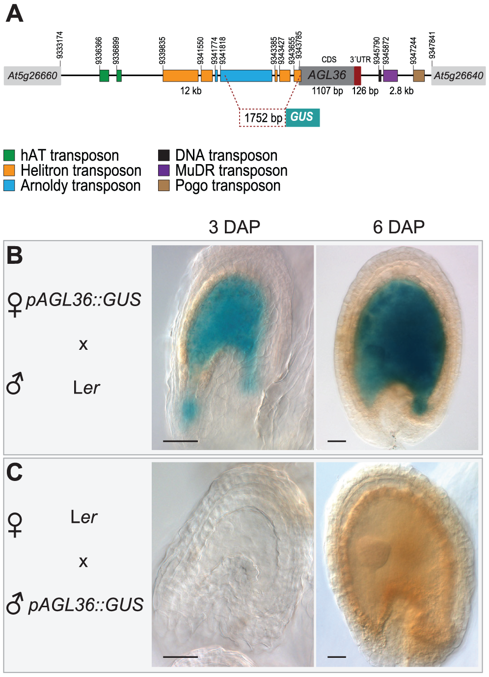 <i>pAGL36::GUS</i> is expressed only from its maternal allele (and only in the fertilization products).