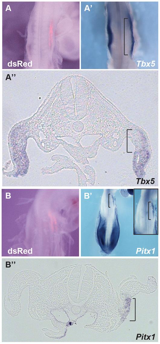 Hoxc9 can repress endogeneous <i>Tbx5</i> expression.