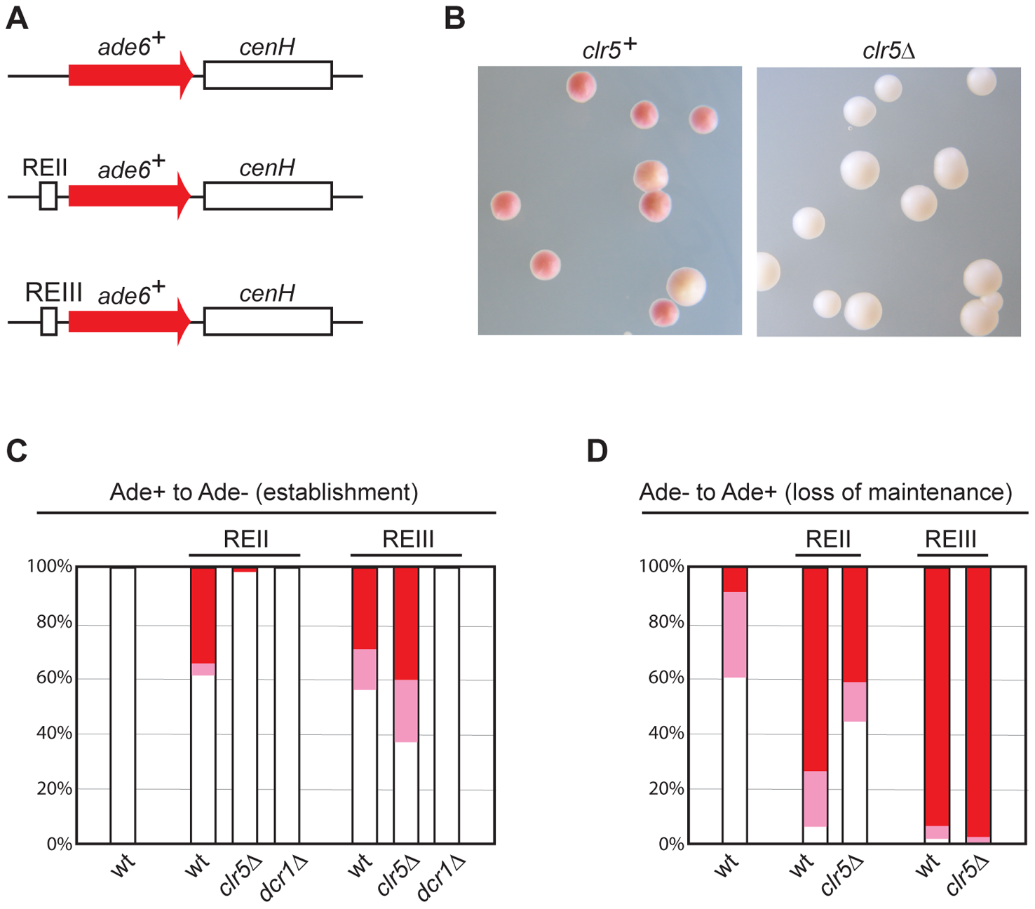 Clr5 mediates gene silencing at an ectopic site in an REII-dependent manner.