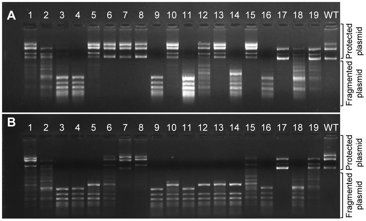 Methylation activities of M.HaeIII variants carrying individual InDels.