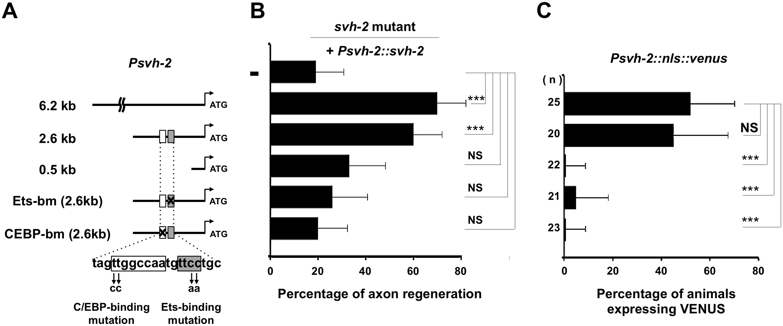 Promoter analysis of the <i>svh-2</i> gene.