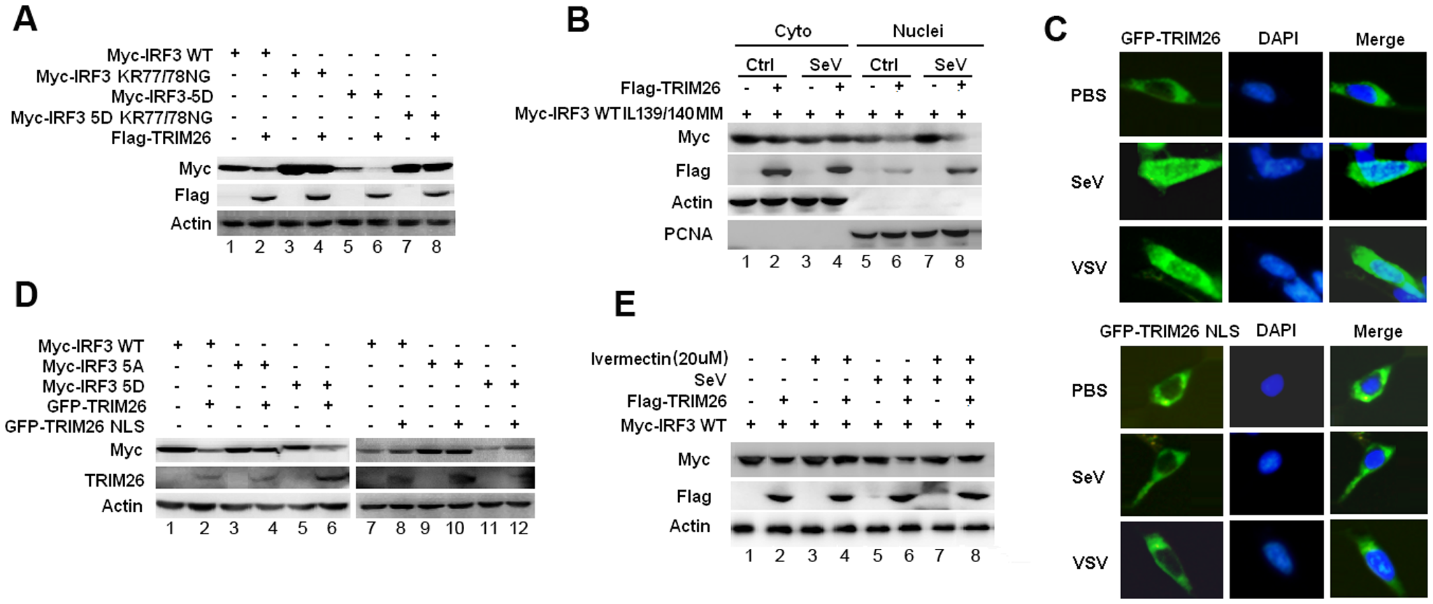 Nuclear translocation promotes TRIM26-mediated IRF3 degradation.