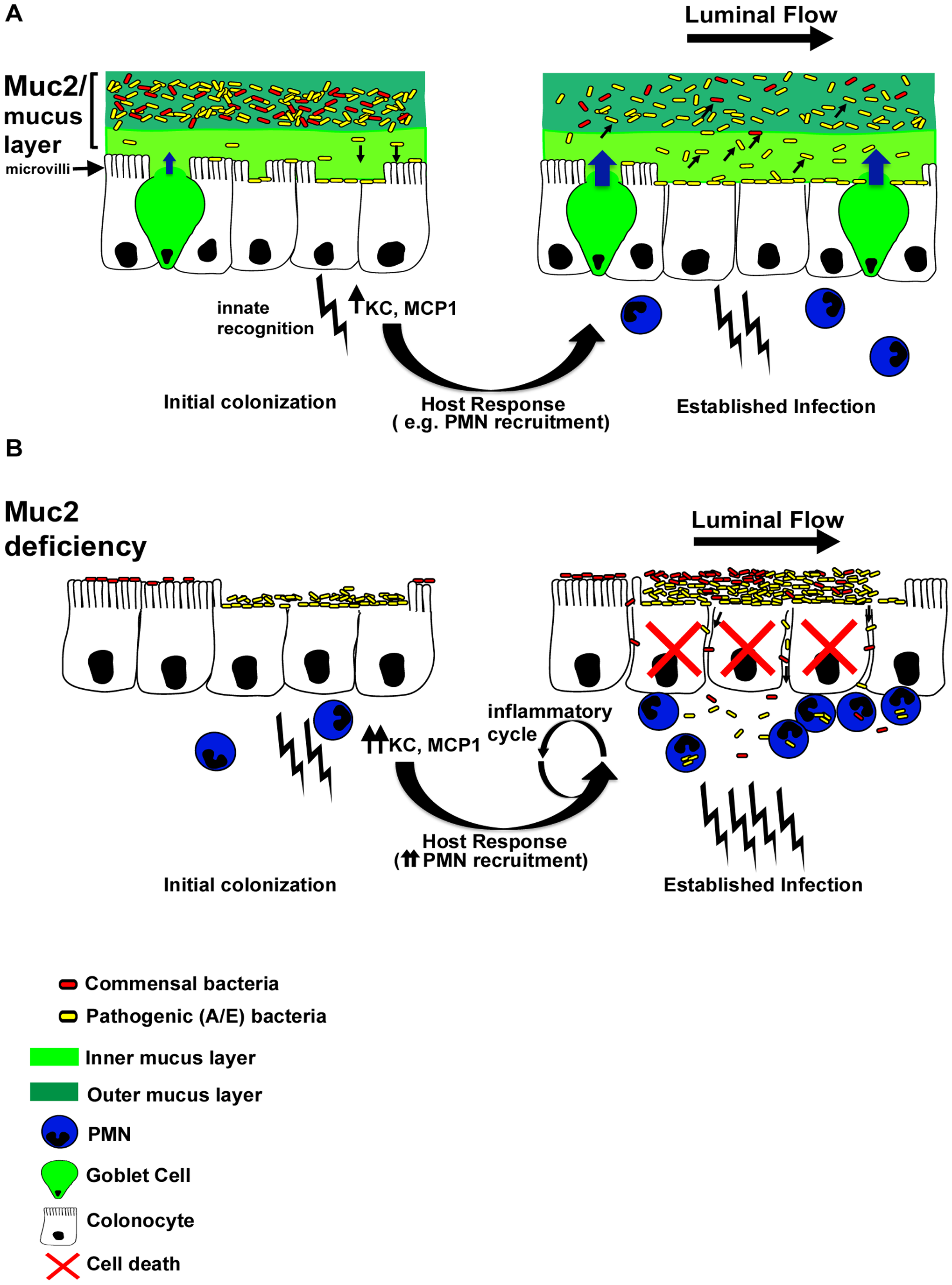 Proposed model of the role of Muc2 in the disassociation of A/E pathogen and commensal bacteria from the large intestinal mucosa.