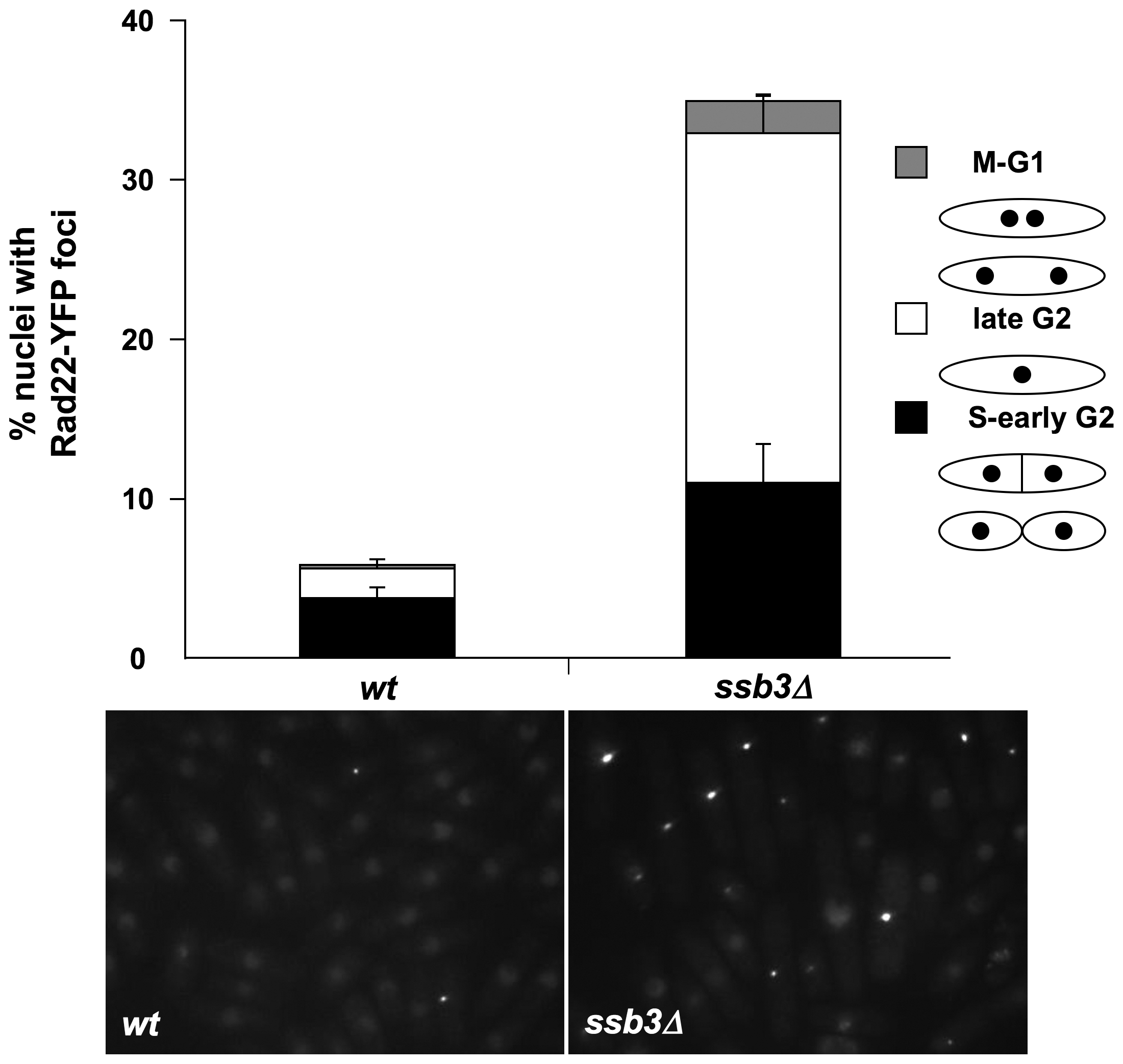 Increased Rad22 DNA repair foci in <i>ssb3Δ</i> cells.