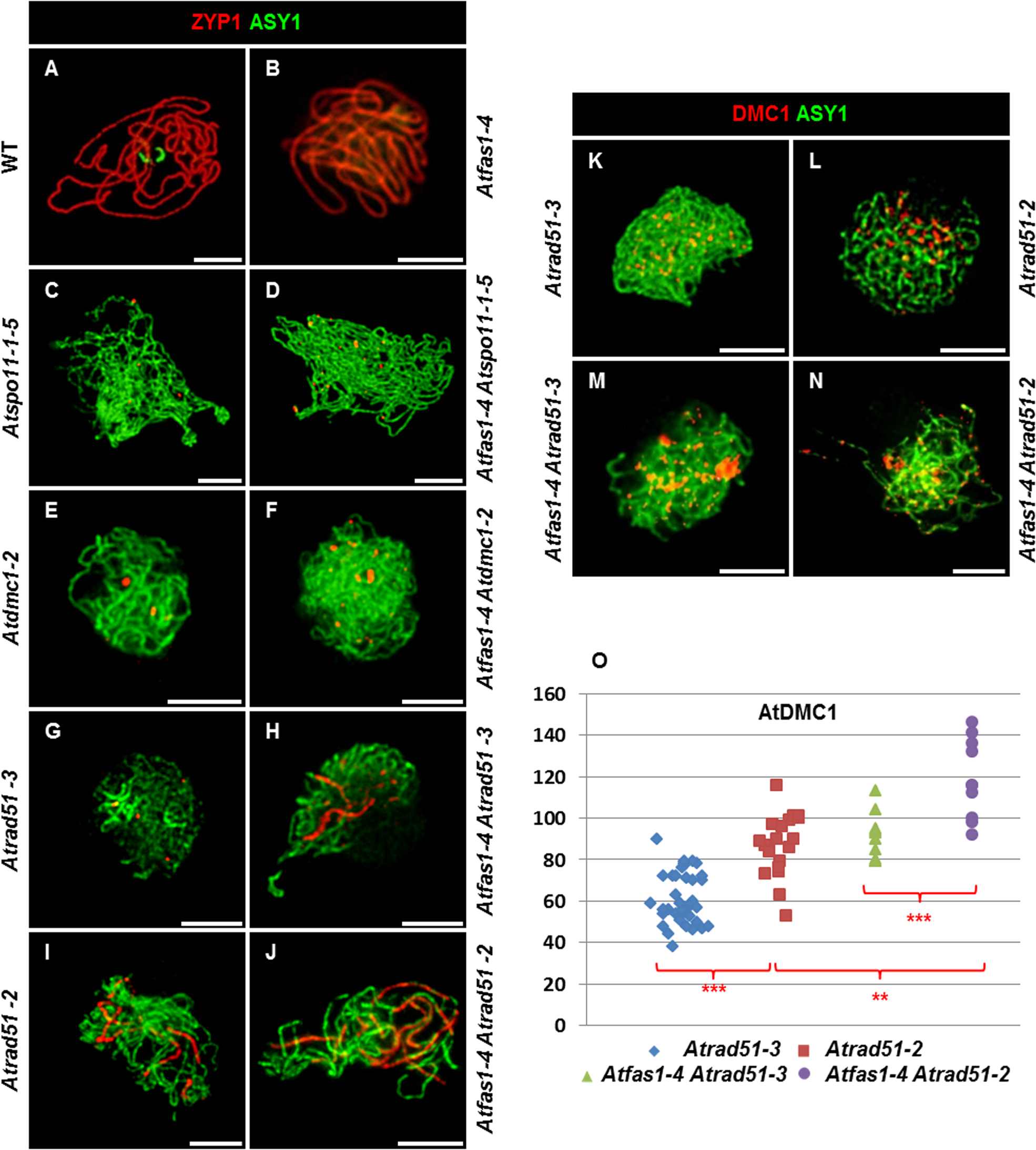 AtRAD51 and AtDMC1 could play different roles in the synaptic process.