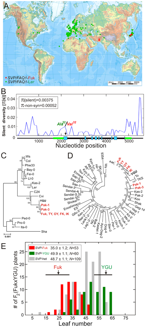 Geographic and genetic diversity patterns of natural <i>SVP</i> alleles.