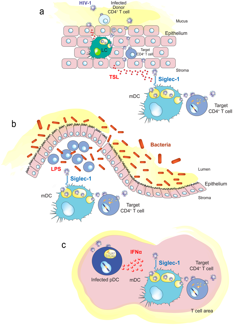 Immune activating signals can induce Siglec-1 expression and contribute to HIV-1 <i>trans</i>-infection.