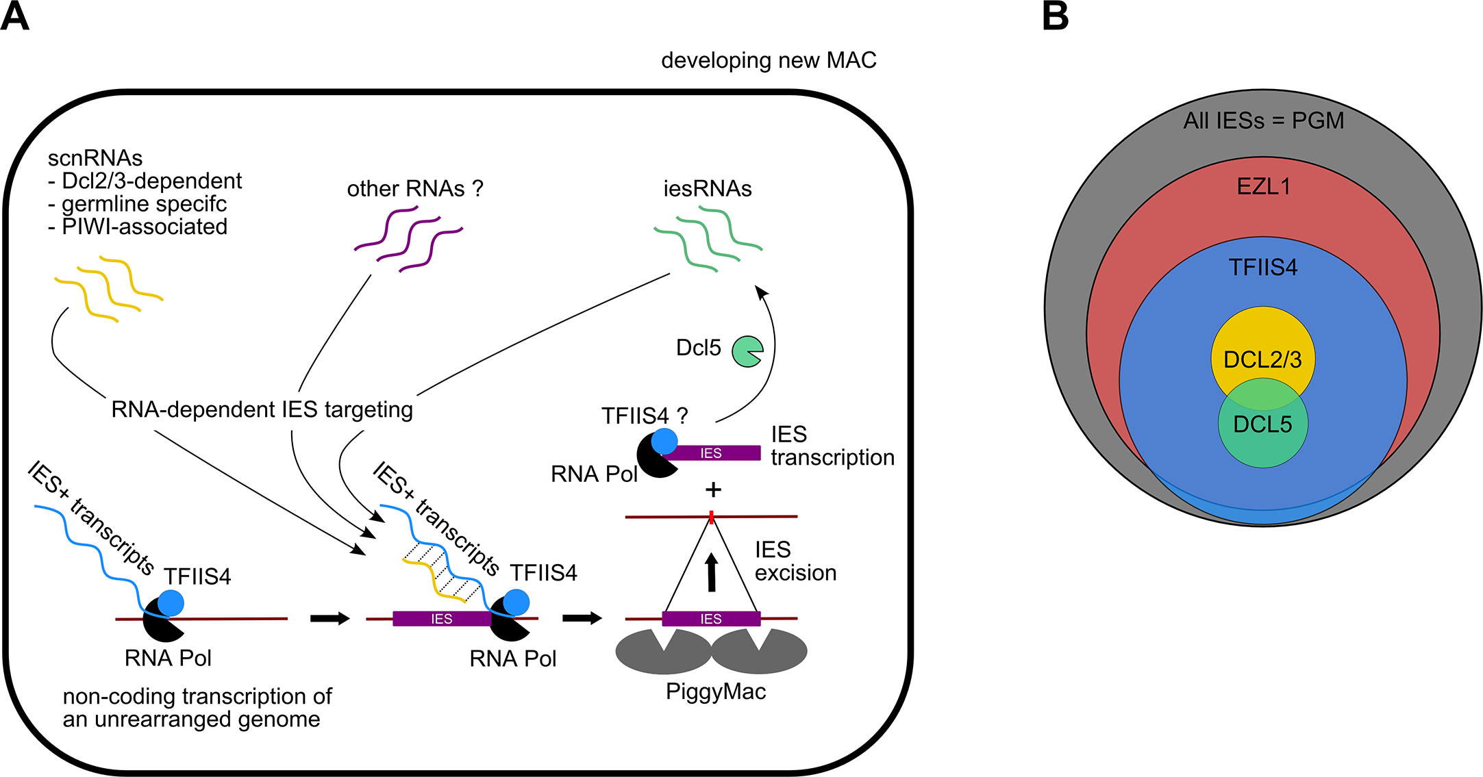 Proposed role of TFIIS4 in RNA-dependent DNA elimination.