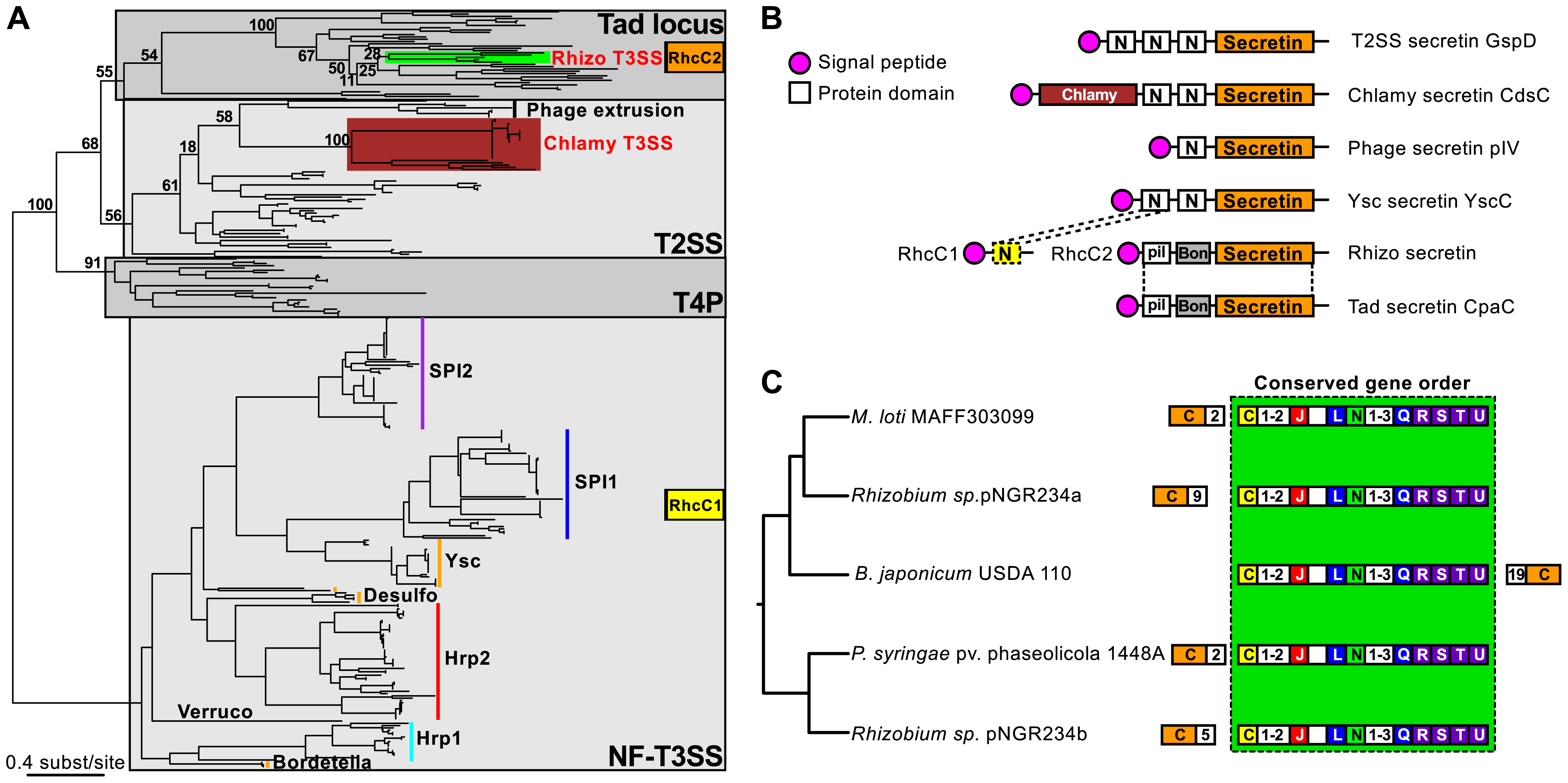 Evolutionary history, domain architecture, and genetic organization of the NF-T3SS secretins.