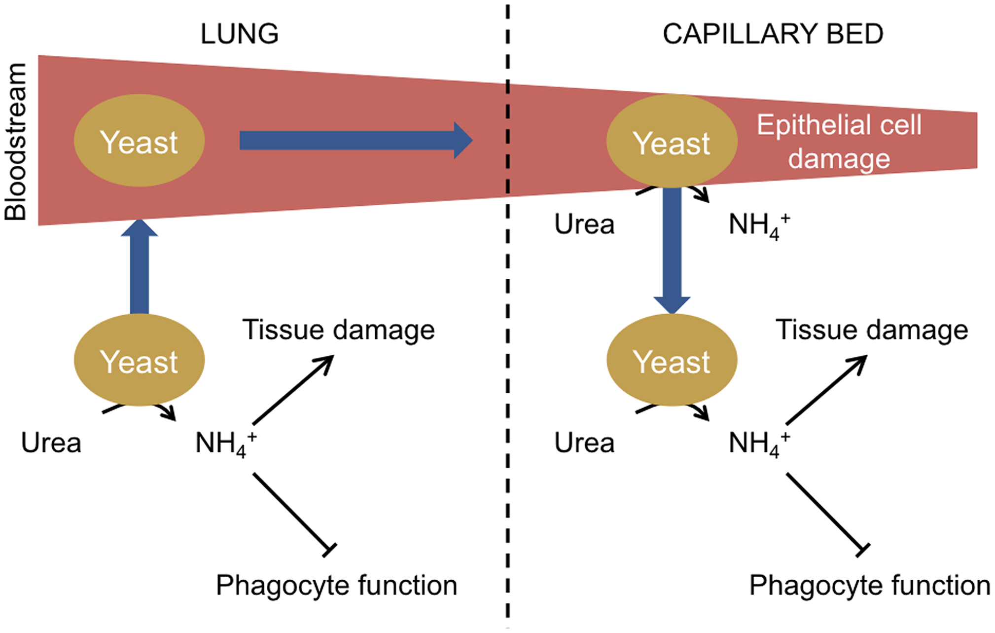 Model of urease function during fungal infection via the lungs.