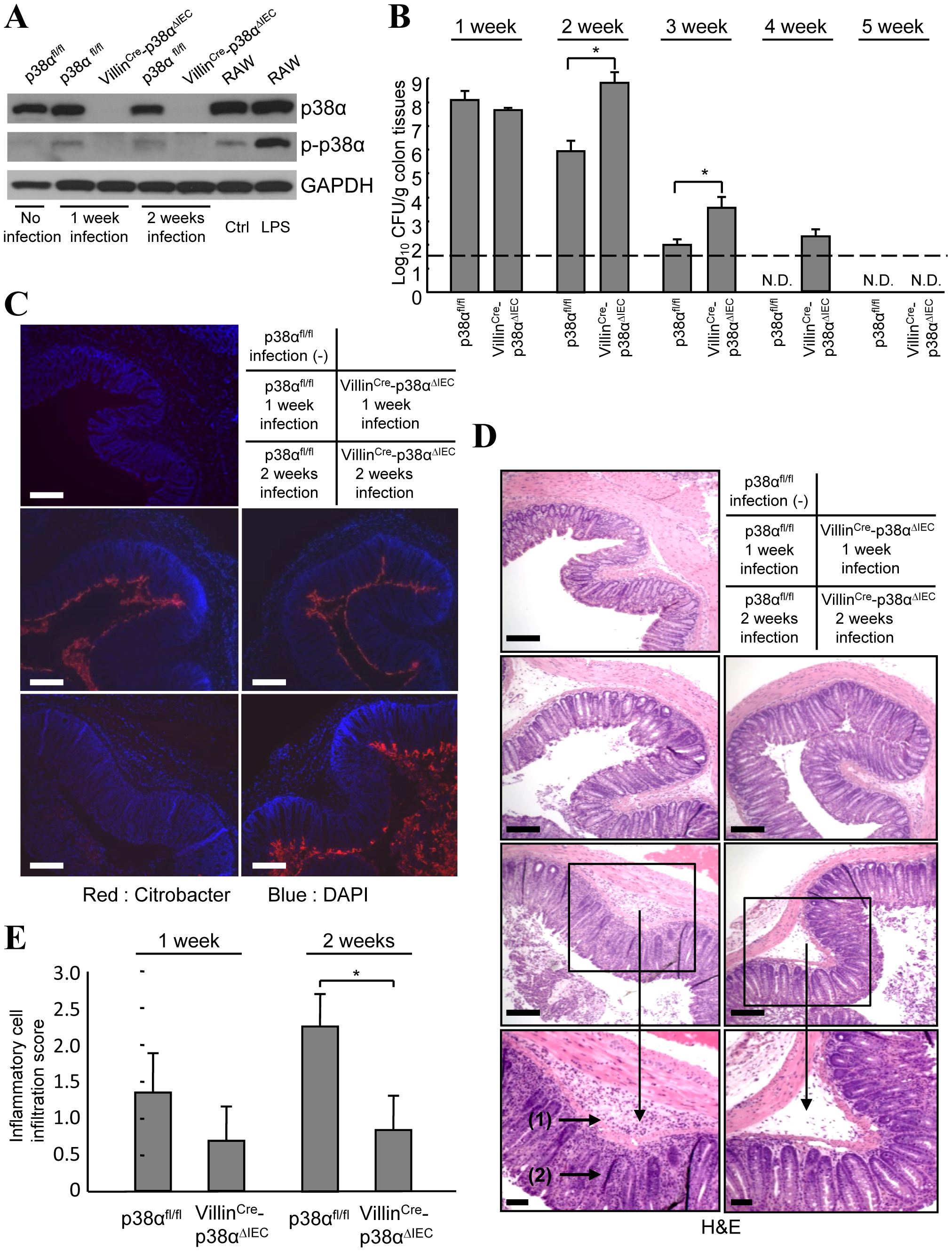 p38α in intestinal epithelial cells is required for the immunity to <i>C. rodentium</i>.