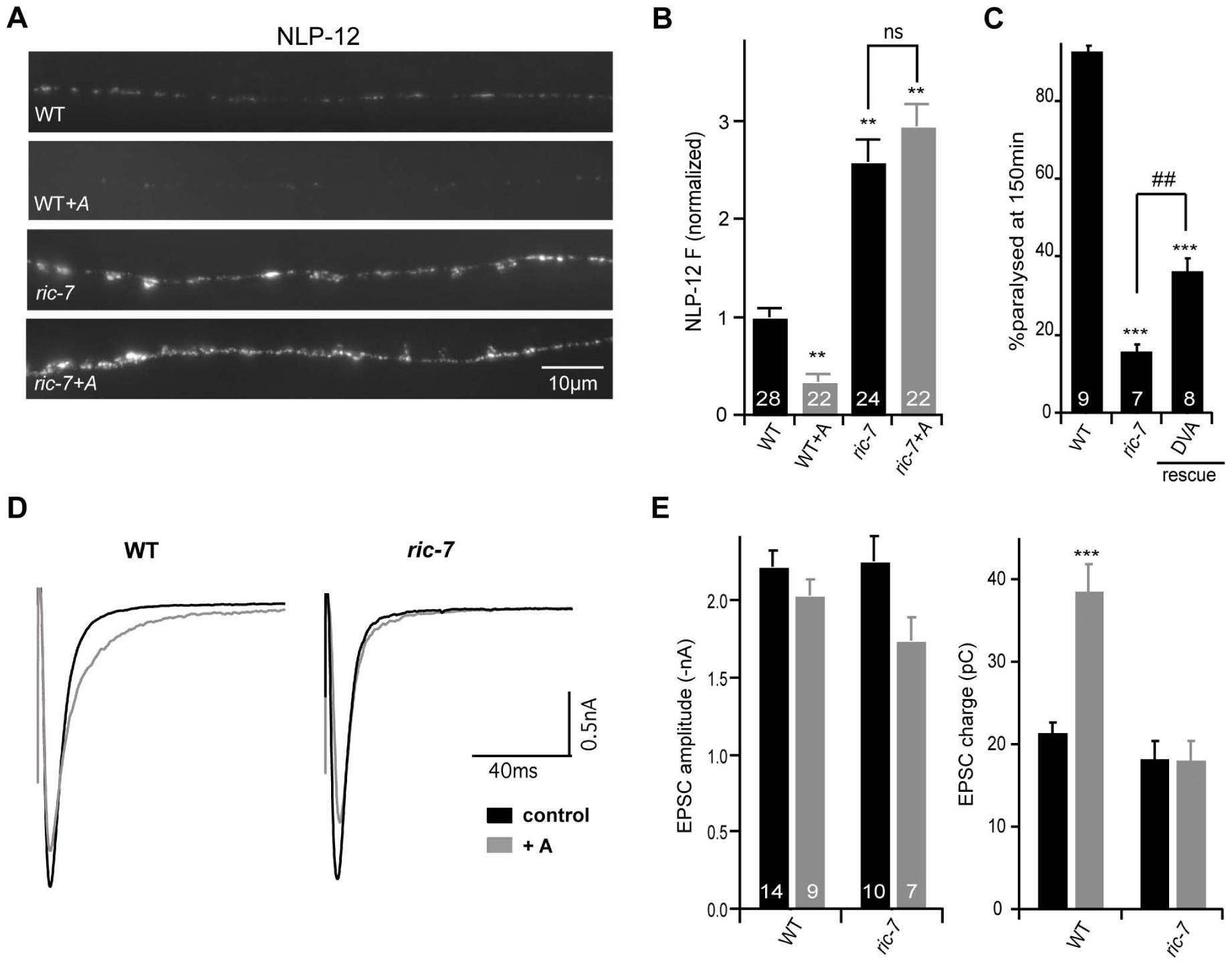 NLP-12 secretion is decreased in <i>ric-7</i> mutants.