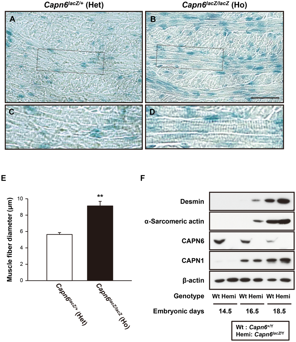 Advanced skeletal muscle development in <i>Capn6</i>-deficient embryos.