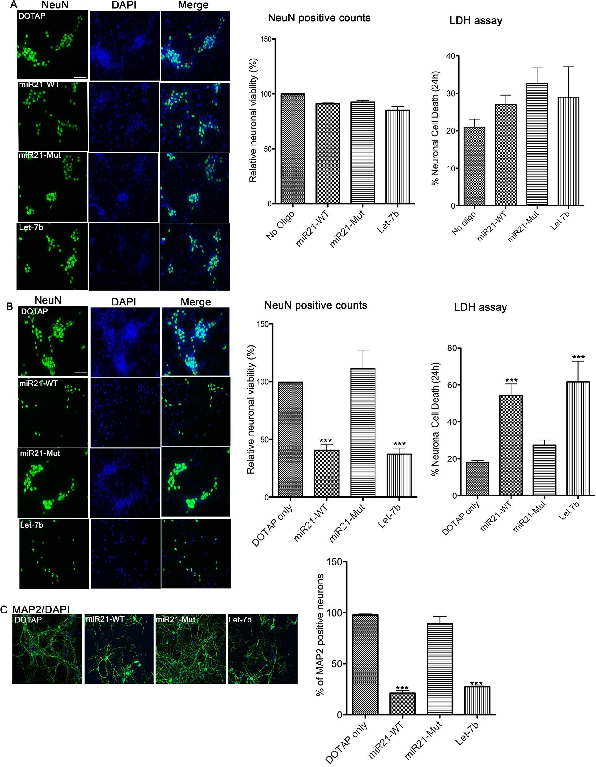 In vitro neurotoxicity assays with artificial EVs.