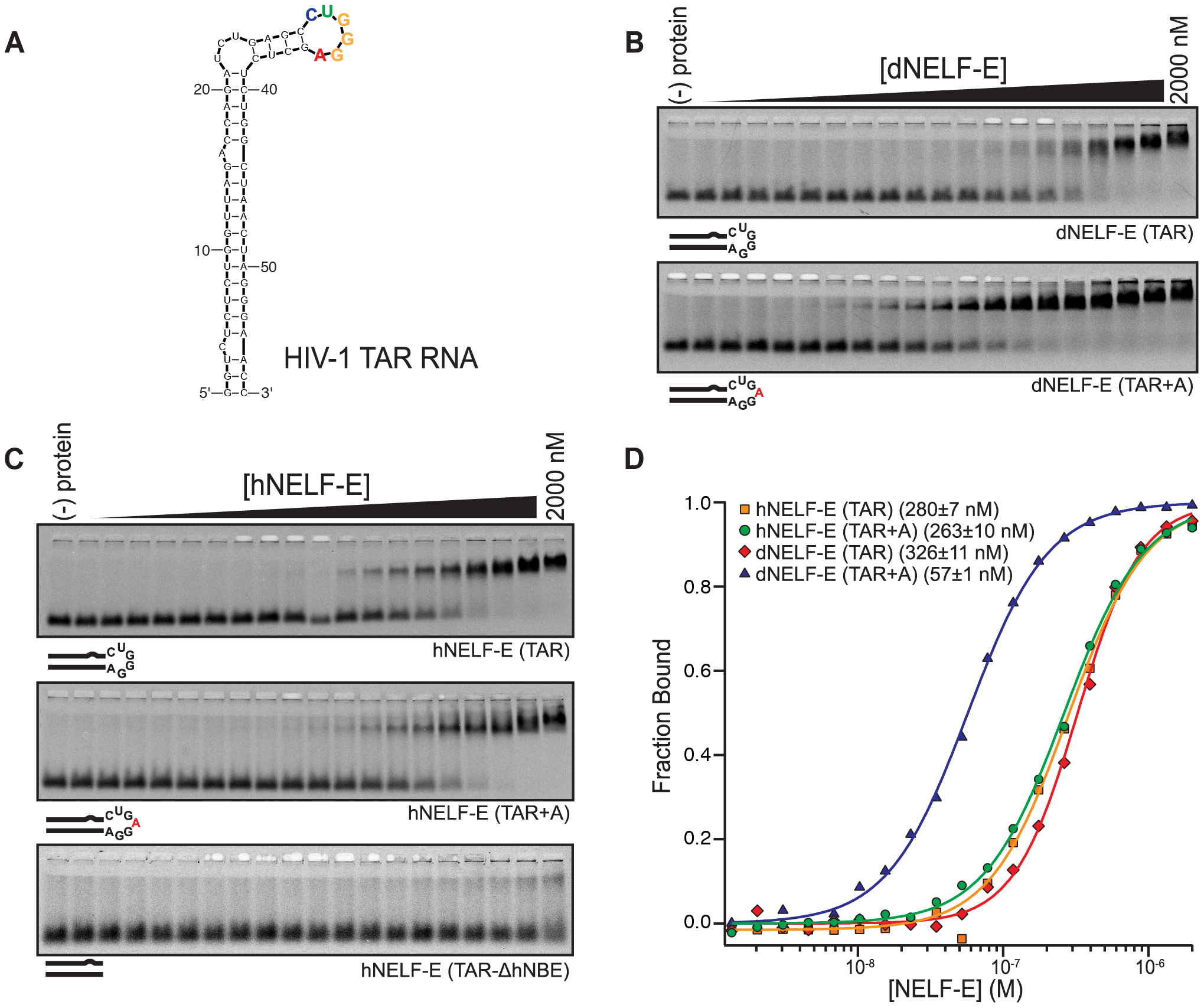 Human and <i>Drosophila</i> NELF-E bind specifically to HIV-1 TAR RNA.