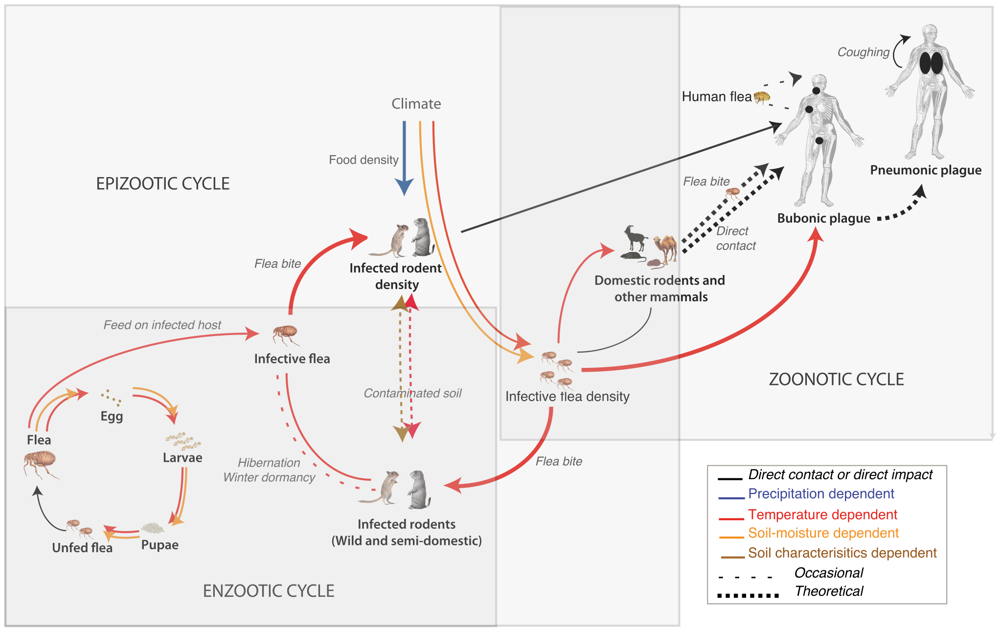 Schematic of the plague cycle with small mammals as hosts and fleas as vectors.