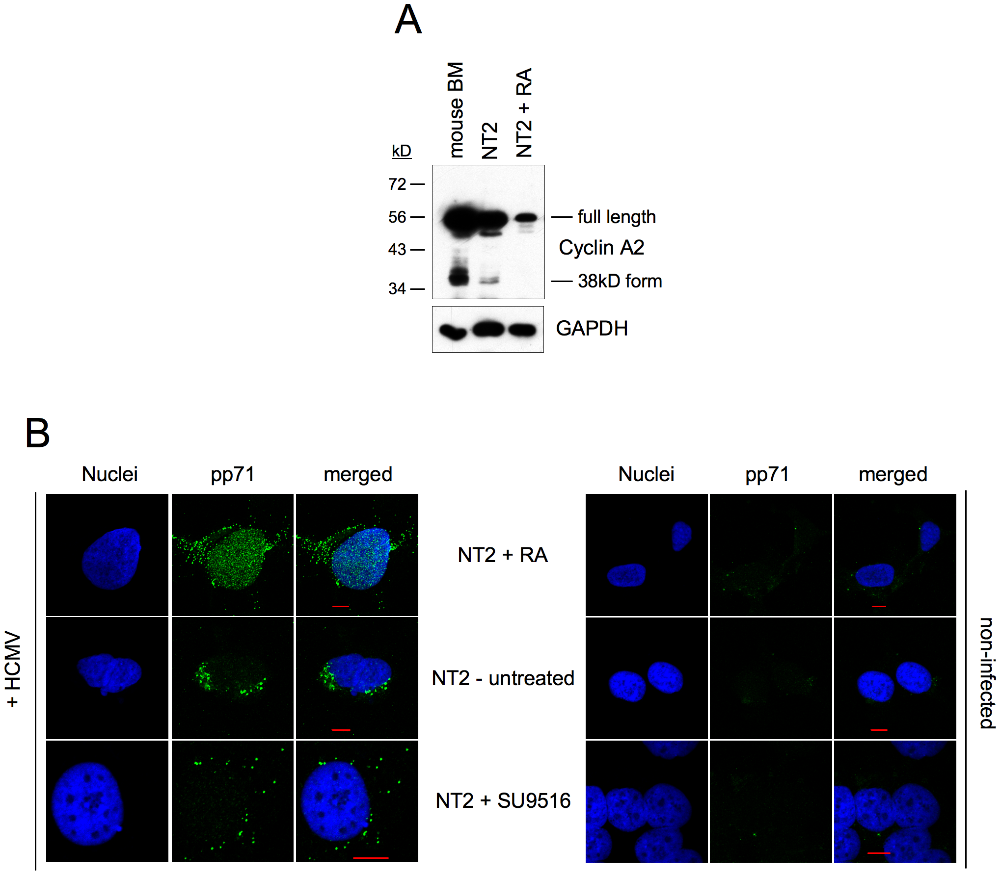 Induction of MIE gene expression by CDK inhibition does not require nuclear localization of pp71.