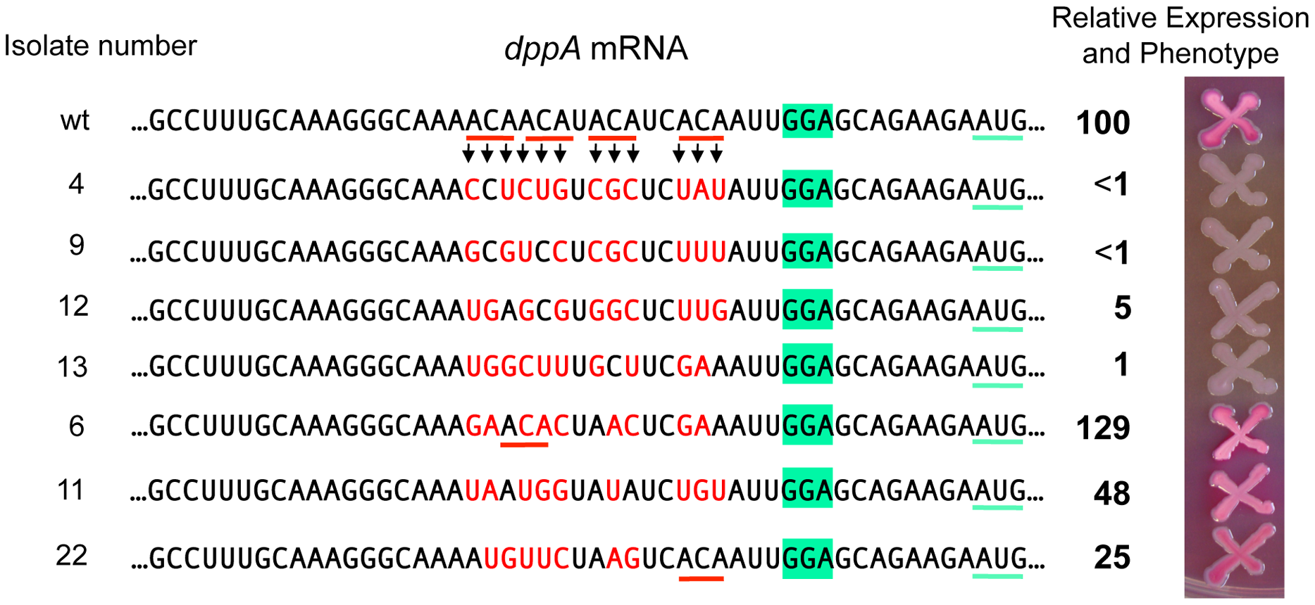 Randomizing ACA motifs in the ribosome binding site of <i>dppA</i> gene.