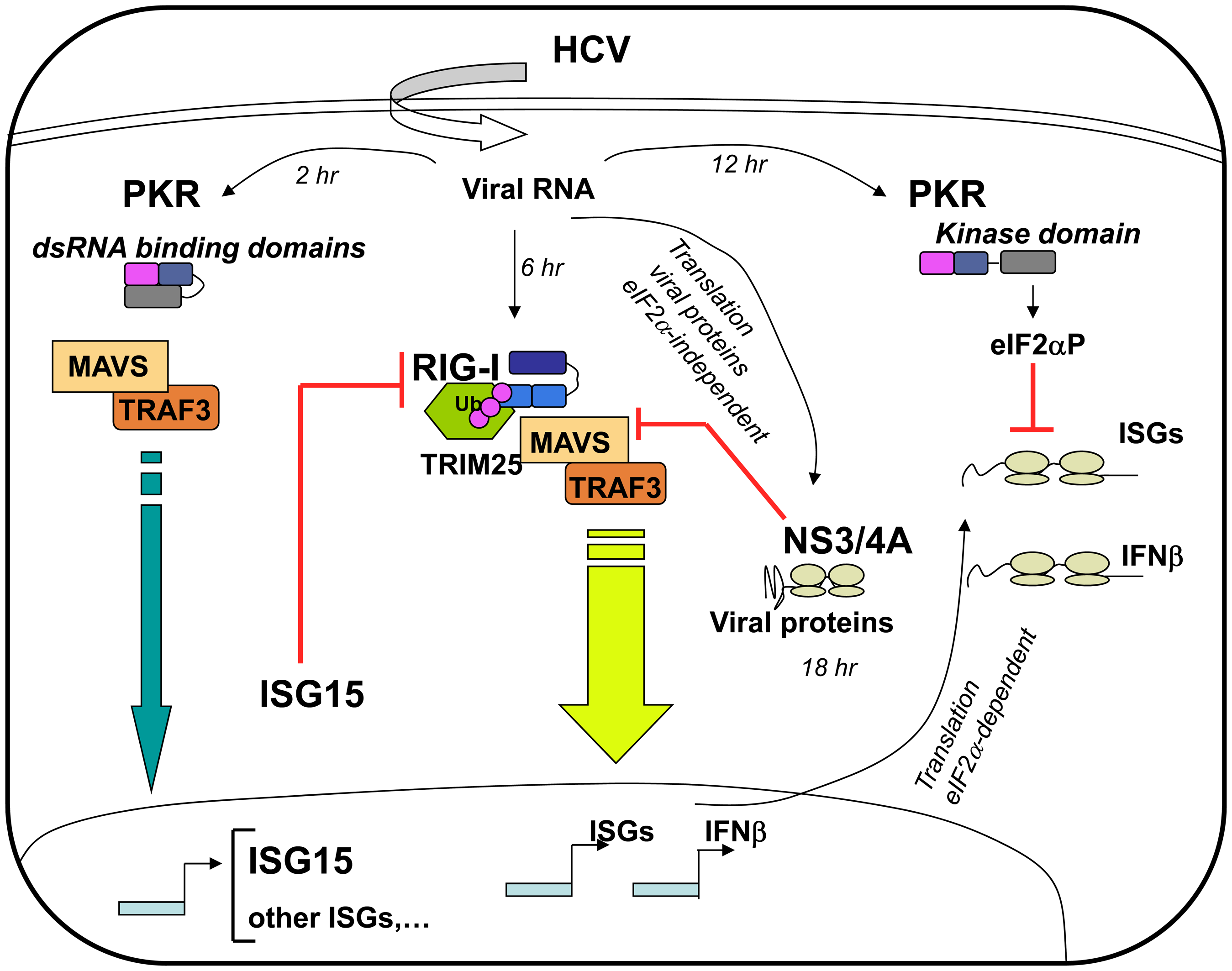 Multiple levels of control of IFN induction during HCV infection.