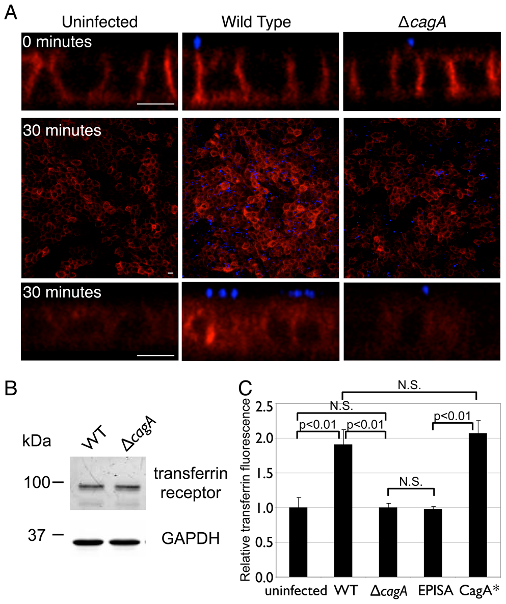<i>Hp</i> colonization of the apical cell surface increases internalized transferrin.