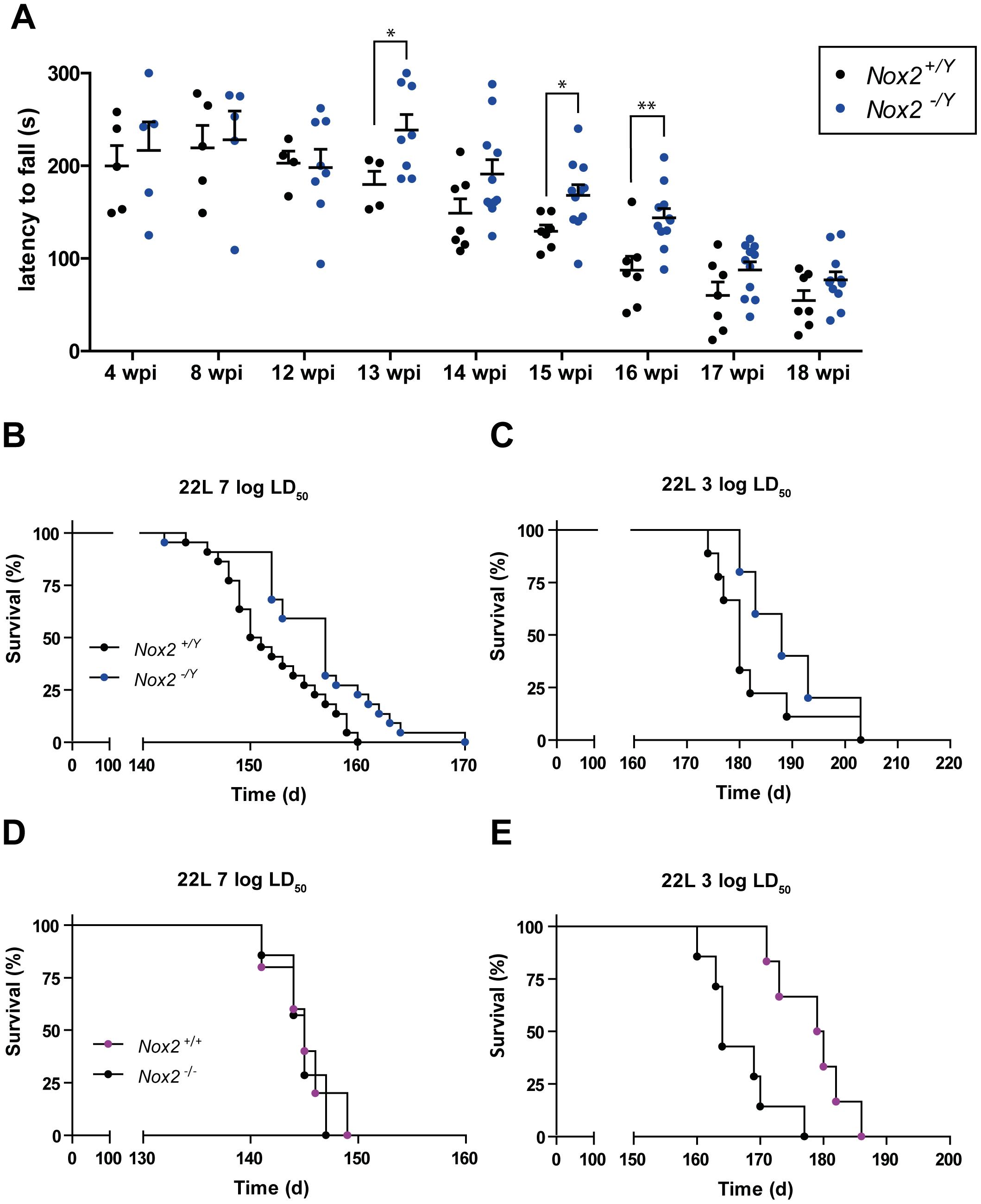 NOX2 deficiency attenuates the progression of prion disease.