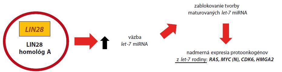 Malígna transformácia pri ETMR nadexpresiou <i>LIN28</i>.