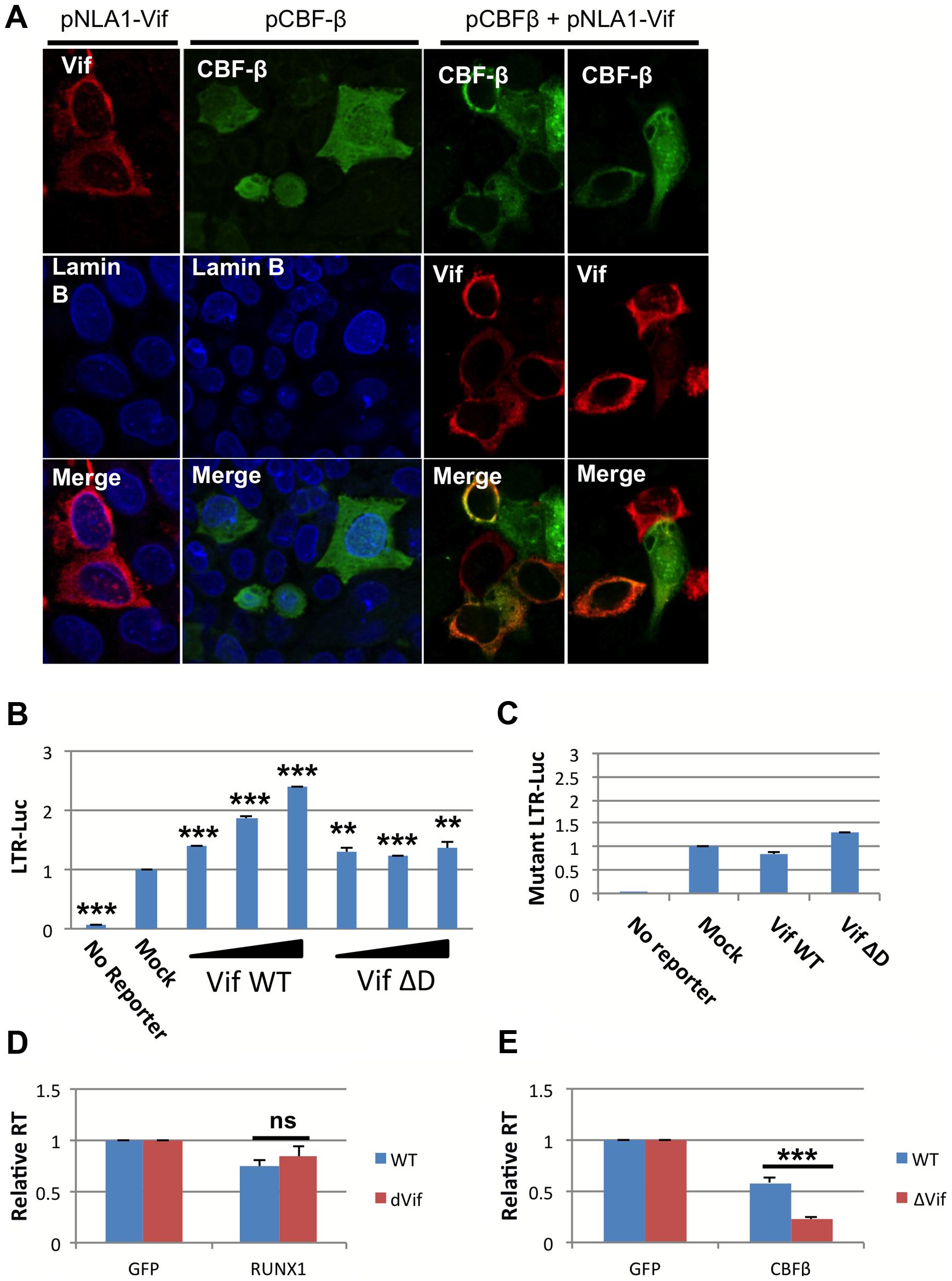 HIV-1 Vif sequesters CBF-β in the cytoplasm.