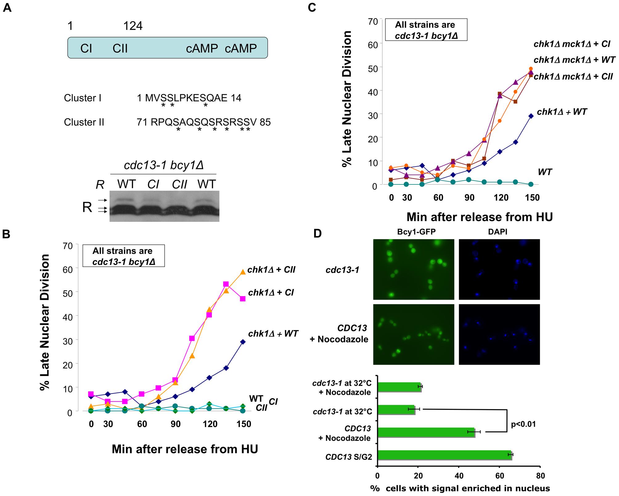 R subunit phosphorylation defective mutants enhanced the DNA damage checkpoint defect of <i>chk1Δ</i> cells.