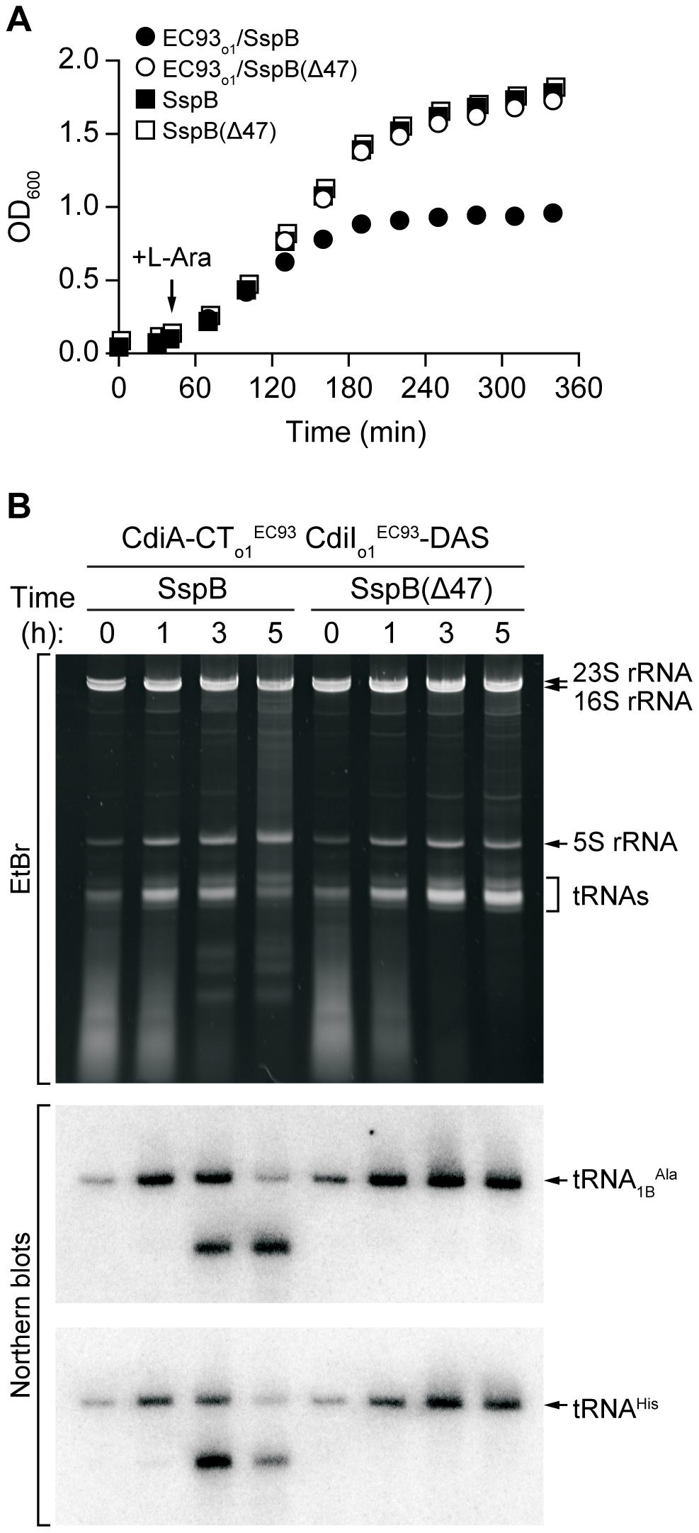 CdiA-CT<sub>o1</sub><sup>EC93</sup> inhibits the growth of <i>E. coli</i> cells.