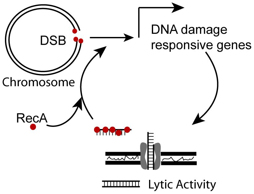 Model for positive feedback of DNA on DNA damage responsive genes.