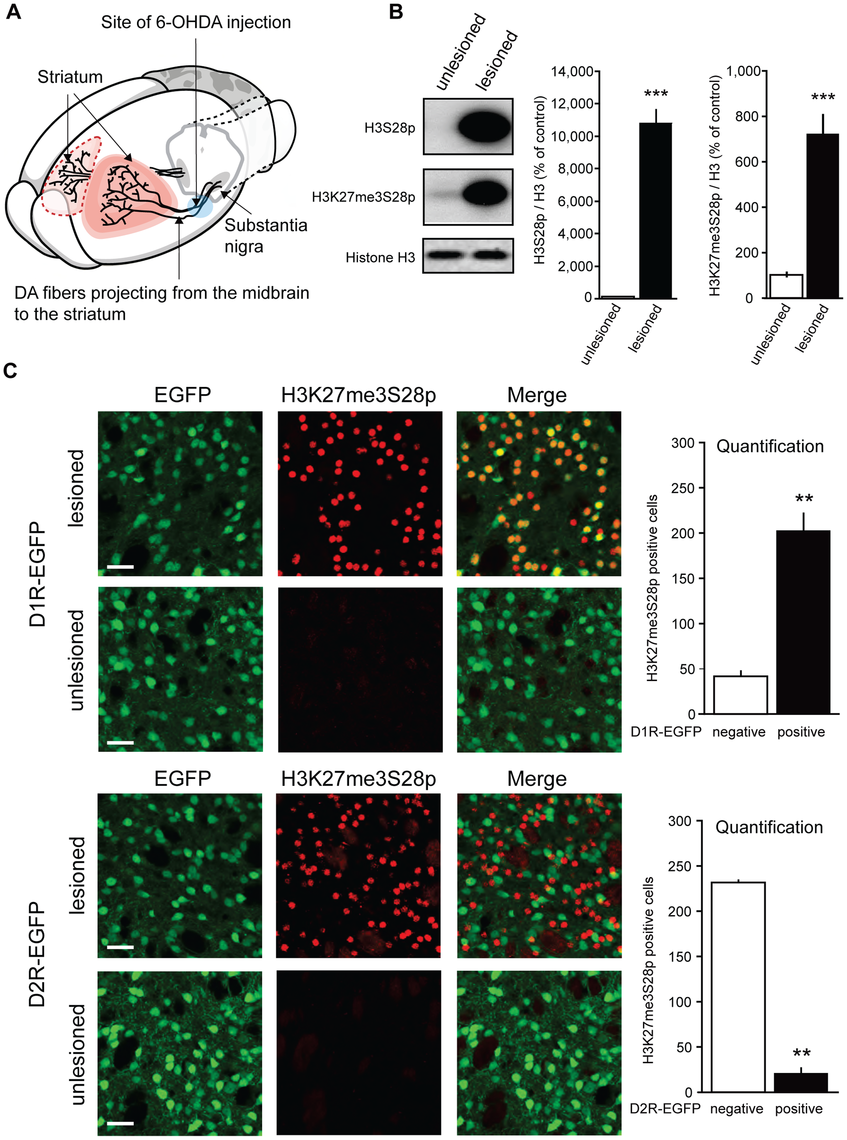 L-DOPA triggers H3K27me3S28 phosphorylation in MSNs of hemiparkinsonian mice.