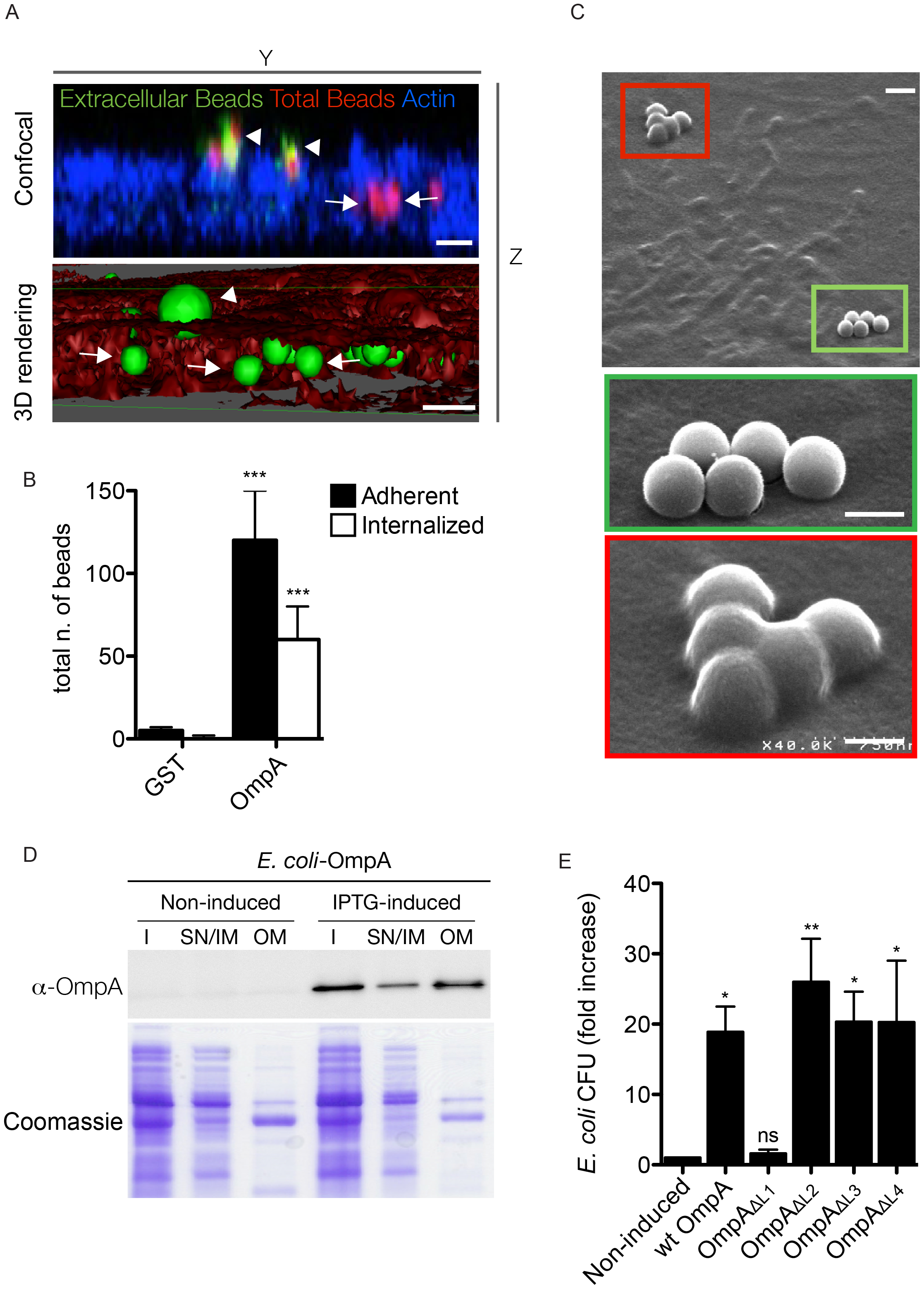 OmpA is necessary and sufficient to trigger the internalization of beads and extracellular bacteria within non-phagocytic cells.