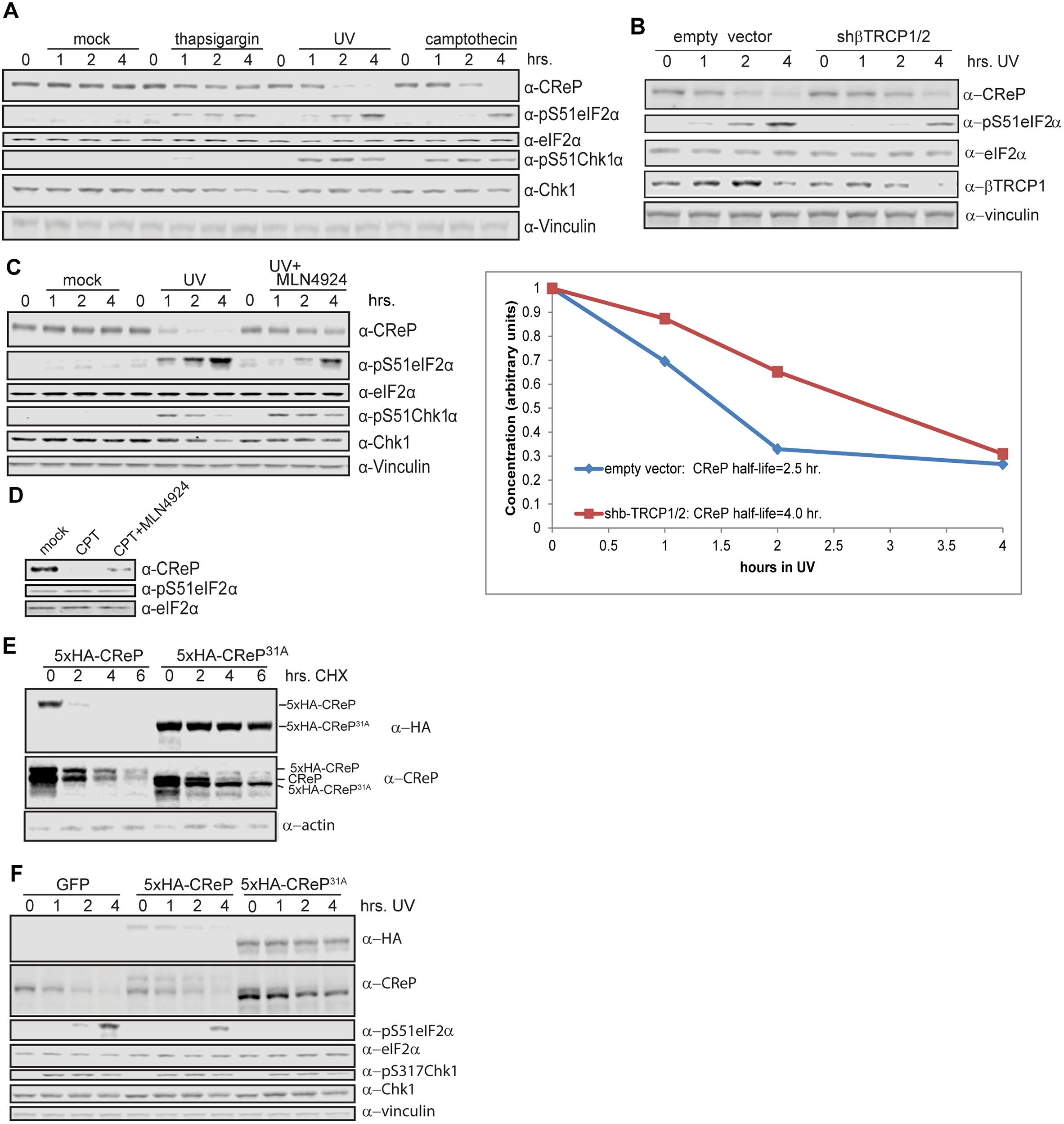 Regulation of CReP turnover and impact on eIF2α phosphorylation.