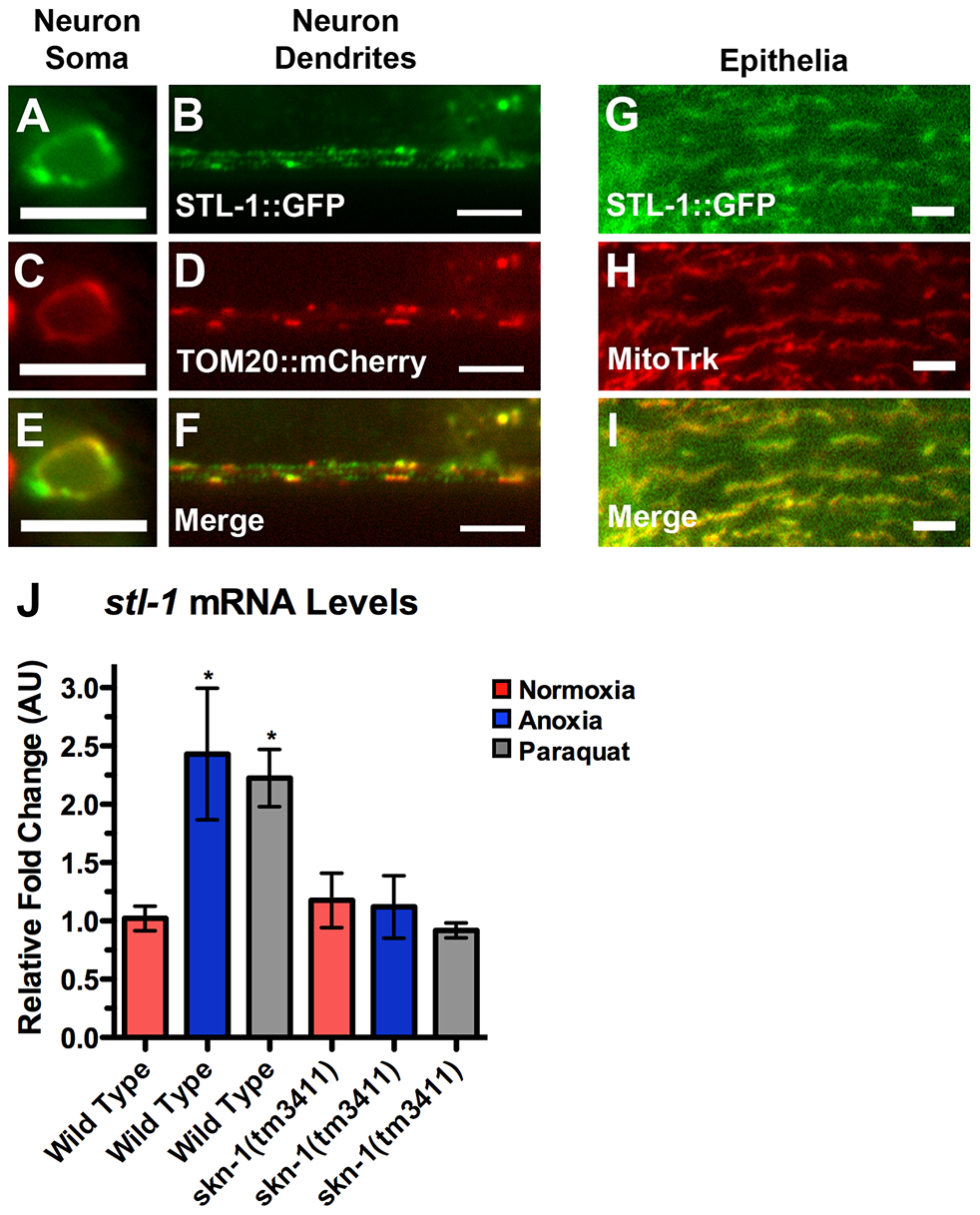 STL-1 resides at mitochondria and is regulated by SKN-1.