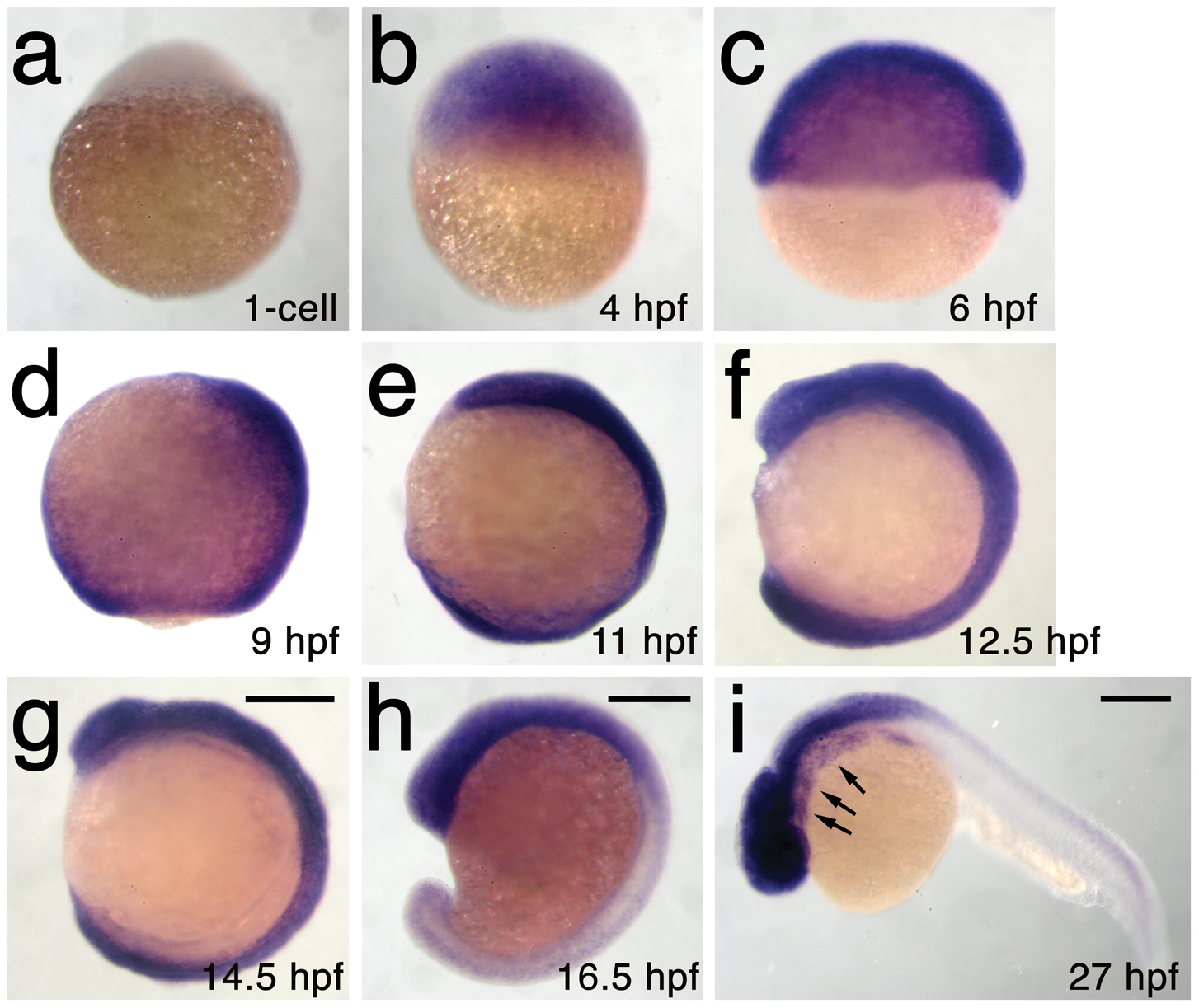 <i>h3f3a</i> is ubiquitously expressed throughout embryogenesis.