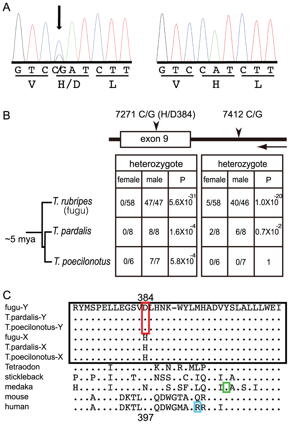 A trans-specific SNP in <i>Amhr2</i> is correlated with phenotypic sex in <i>Takifugu</i>.