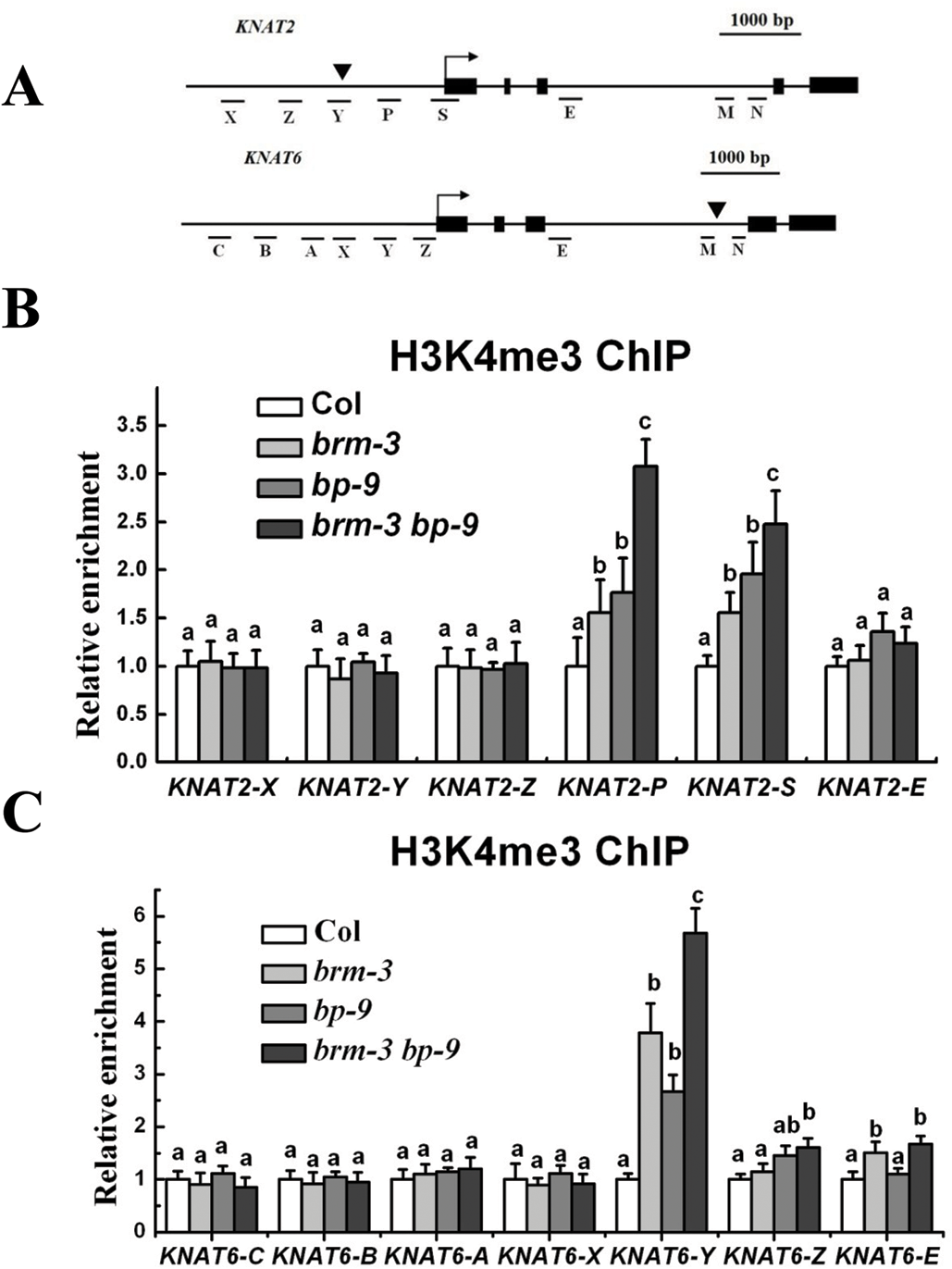 BRM and BP decrease H3K4Me3 levels of <i>KNAT2</i> and <i>KNAT6</i> in inflorescences.