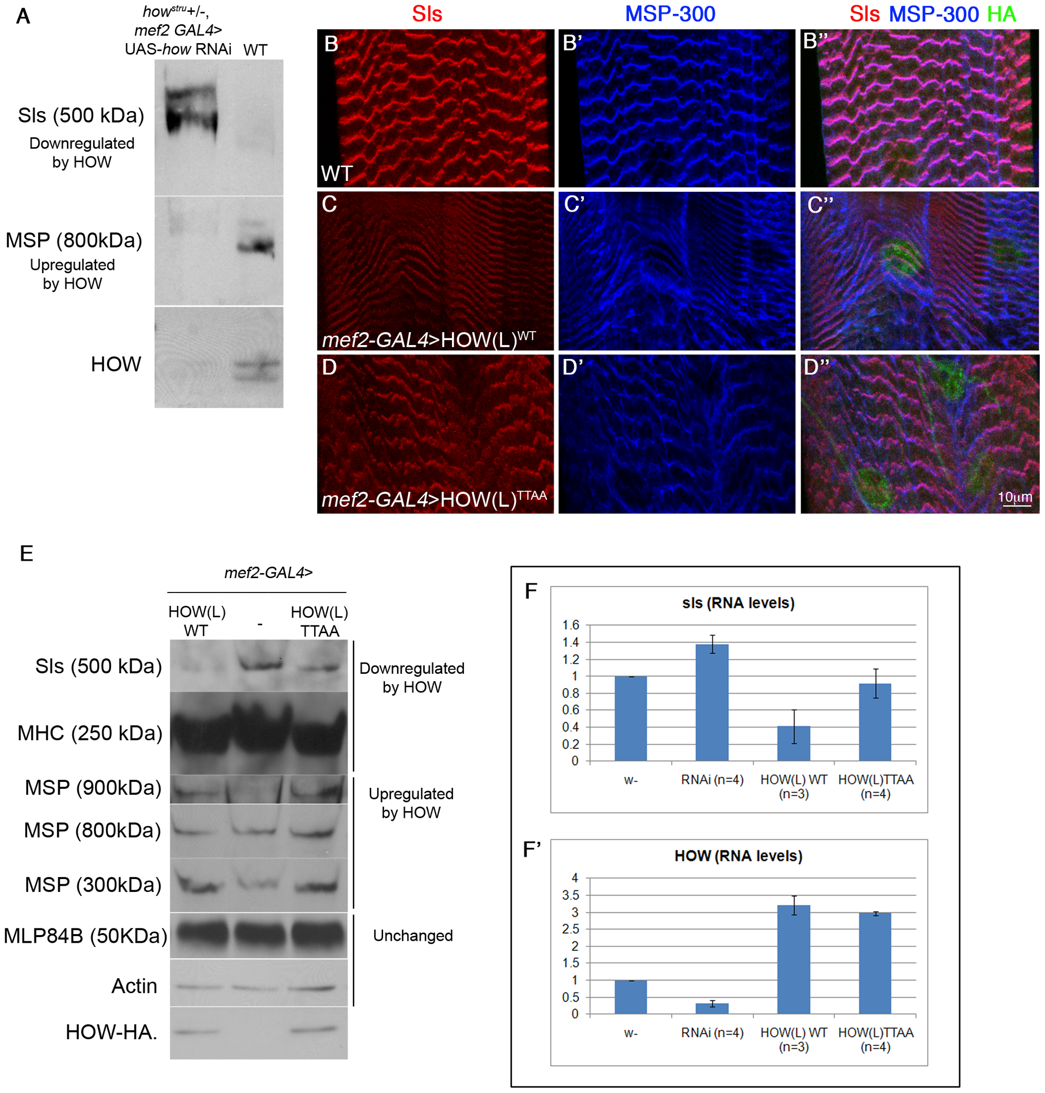 HOW regulates the levels of Sls RNA and protein in a phosphorylation-dependent manner.