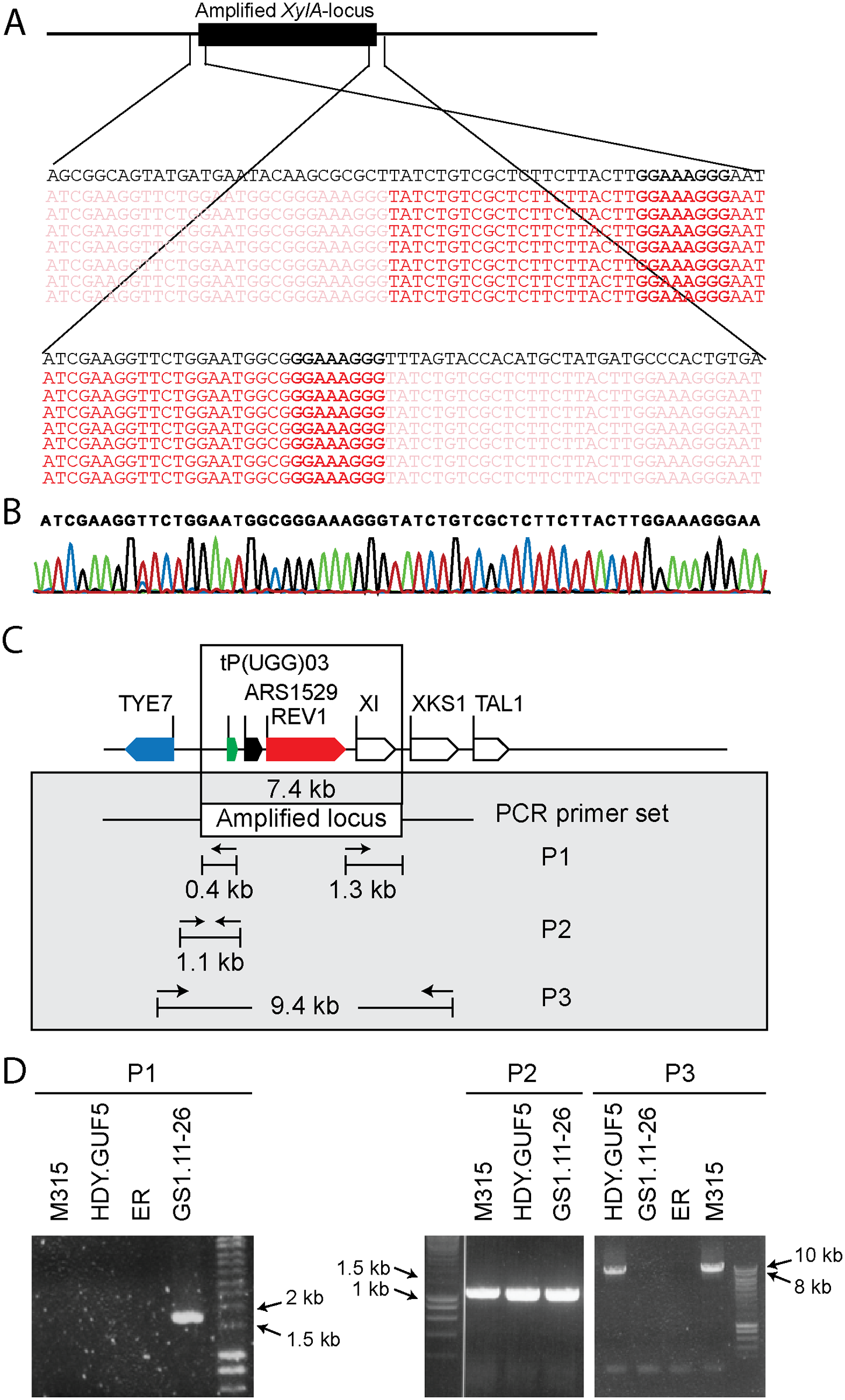 Sequence analysis at the borders of the amplified <i>XylA</i>-locus, and verification of the presence of circular or tandem repeats.