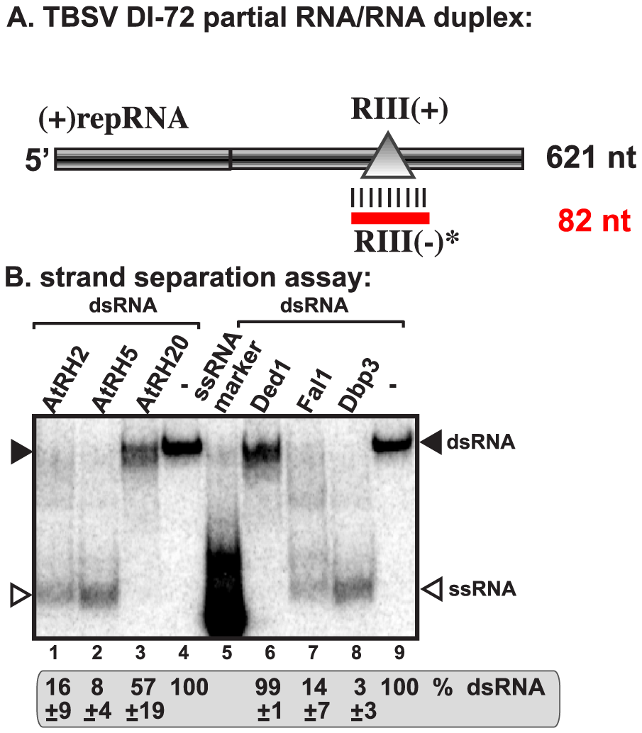 AtRH2 and AtRH5 can unwind short partial RNA/RNA duplex within the RIII(−) REN <i>in vitro</i>.