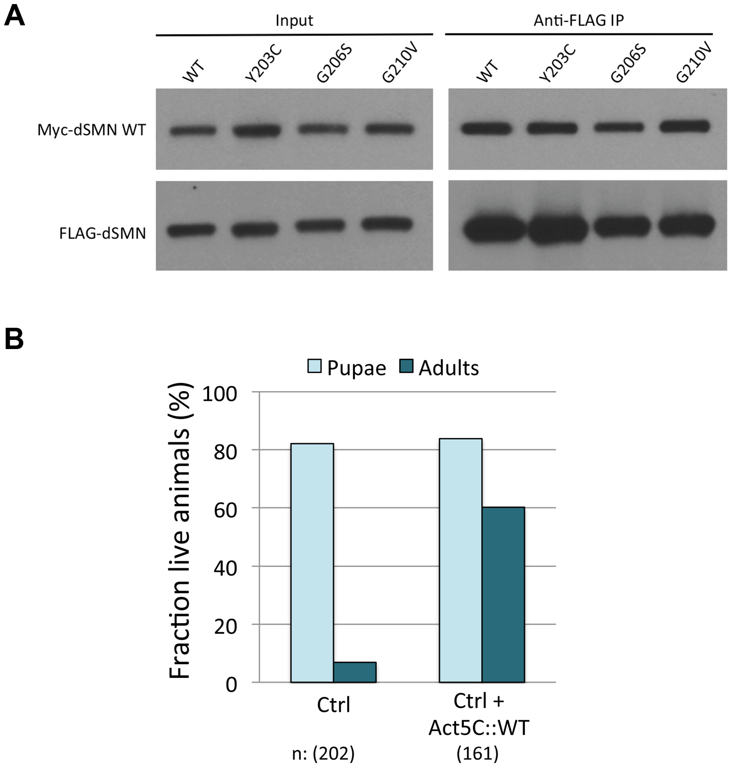 Severe YG box mutants retain the ability to interact with wild-type SMN and overexpression of WT Flag-dSMN rescues their dominant negative effect.