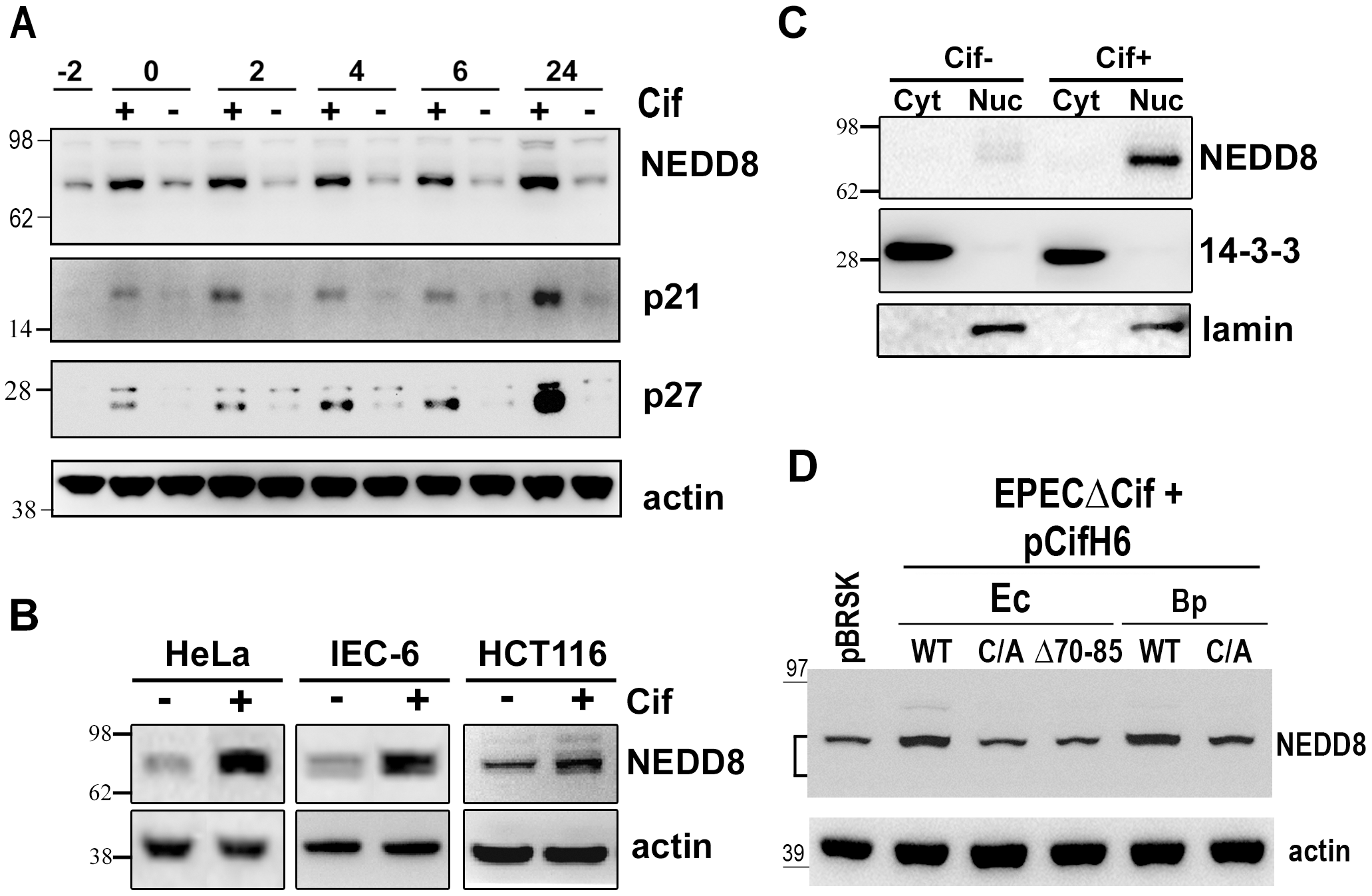 Infection with Cif-producing EPEC induces the accumulation of neddylated proteins.