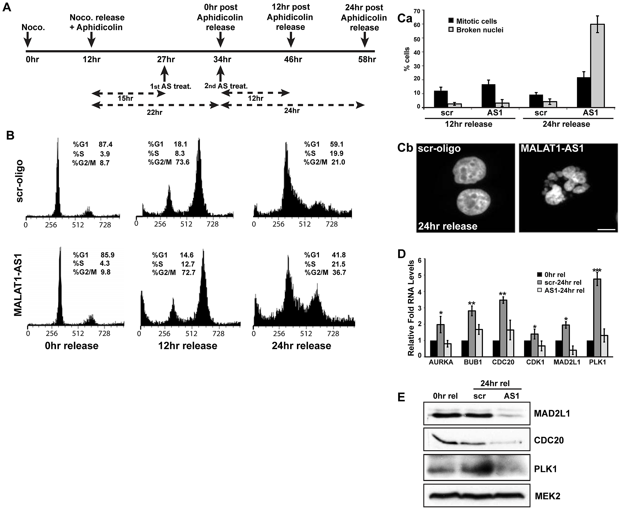 MALAT1 is required for mitotic progression.