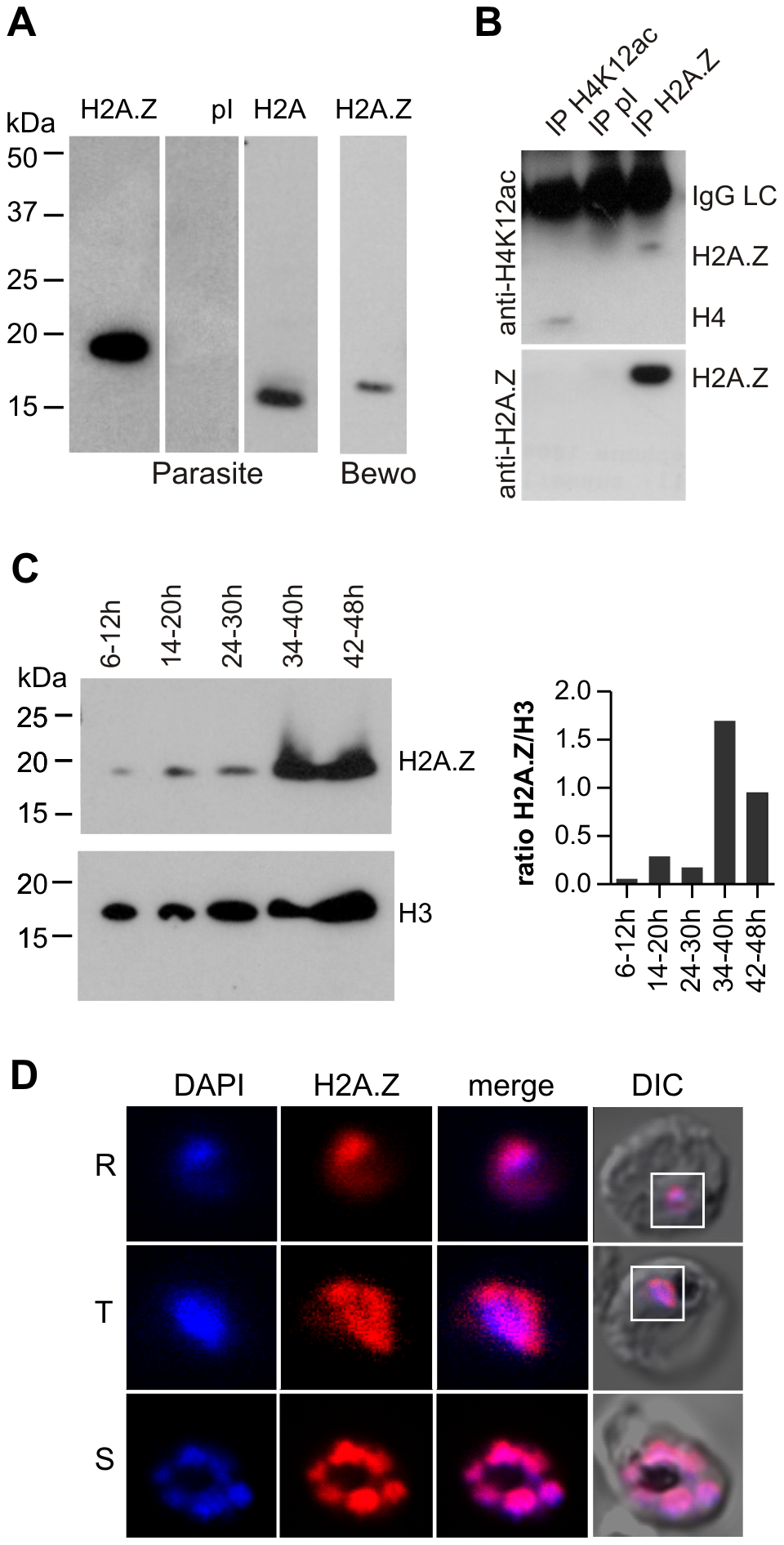 PfH2A.Z is expressed in the nucleus throughout asexual differentiation.