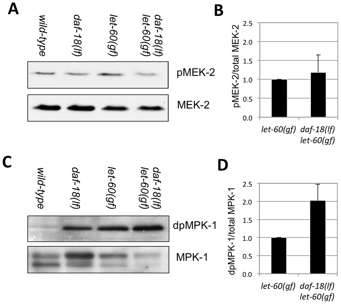 DAF-18 inhibits MPK-1 phosphorylation.